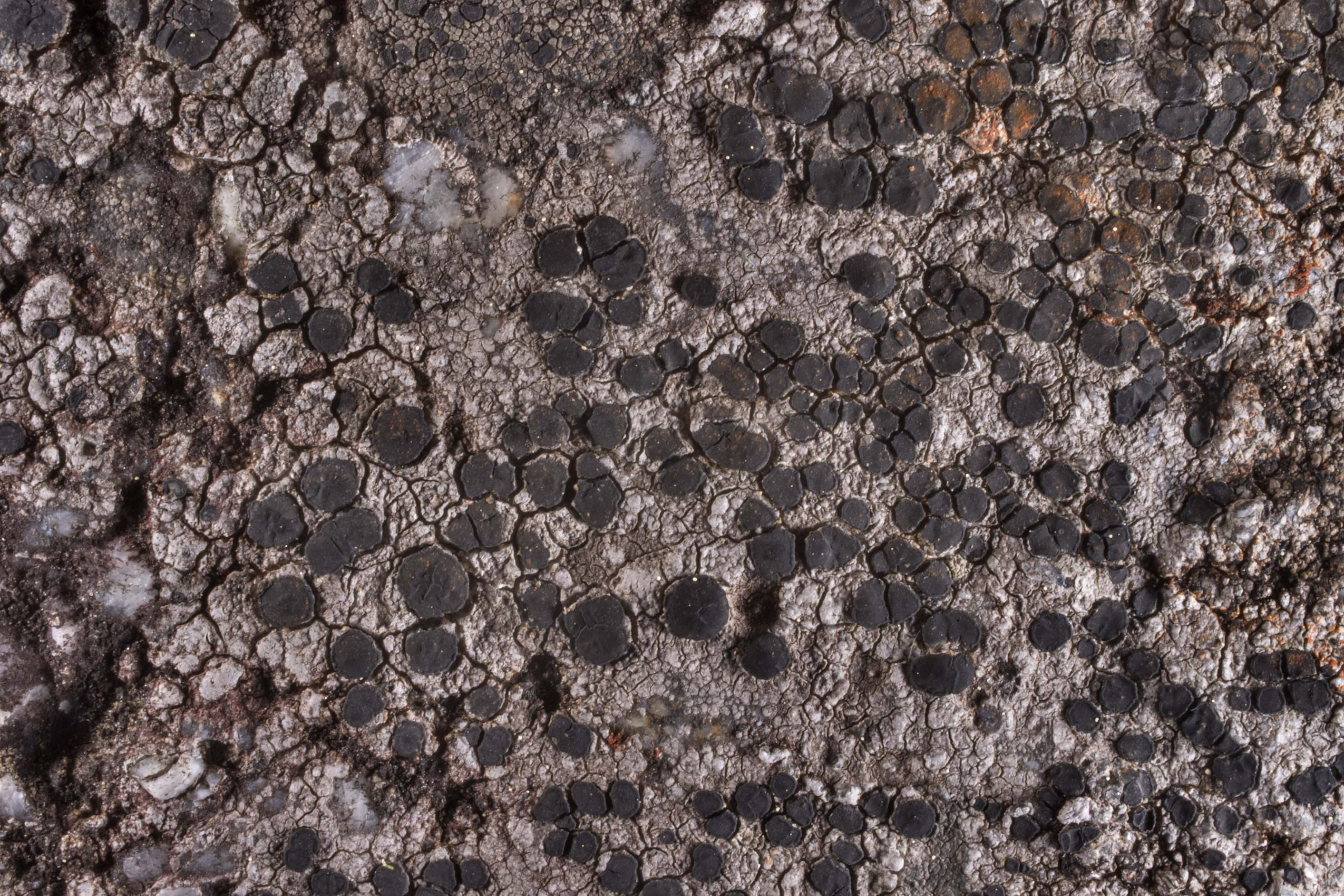 Saxicolous lichen Lecidea lapicida on a stone in...miles north from St.Petersburg. Russia