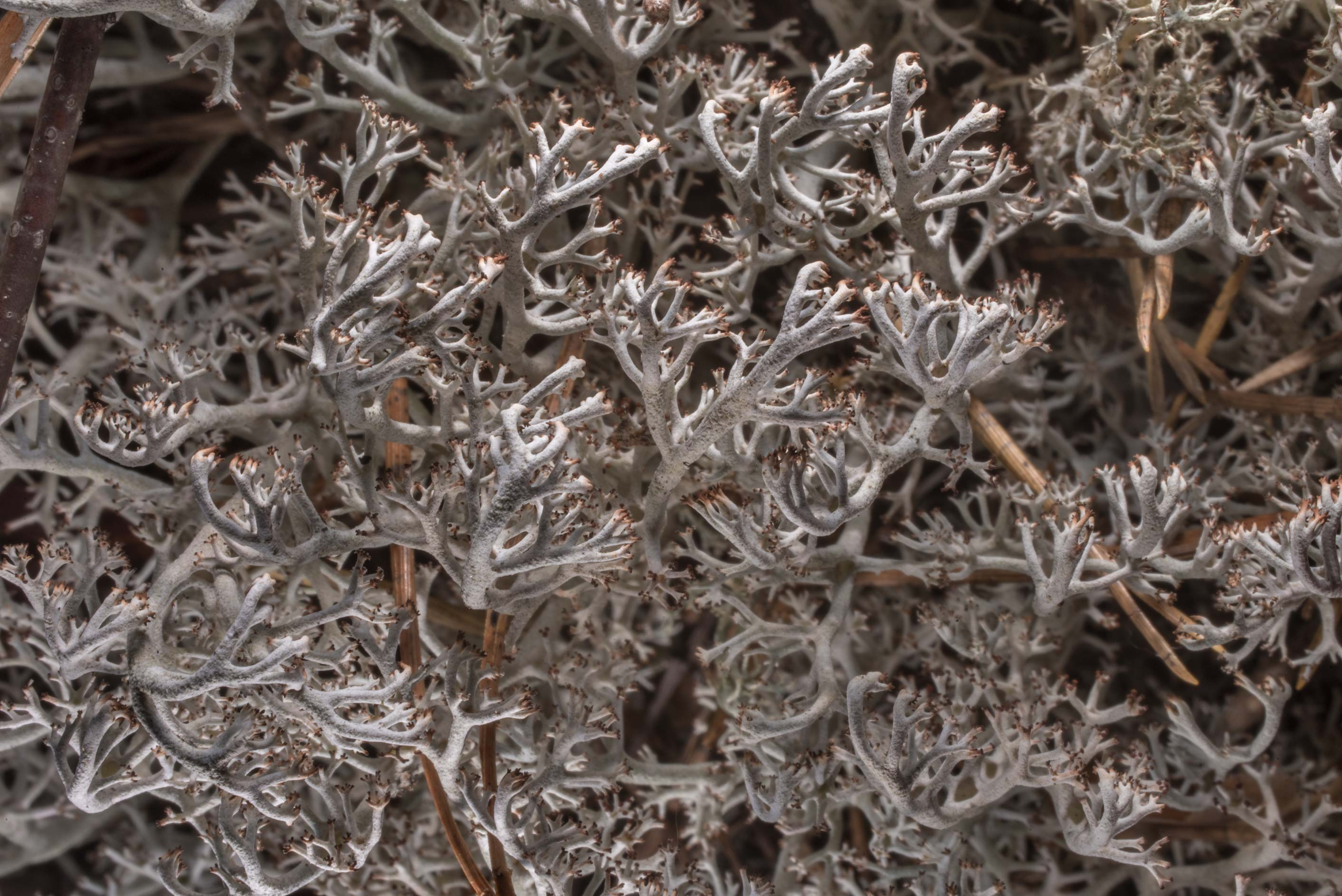 Close up of grey reindeer lichen (Cladonia...miles north from St.Petersburg. Russia