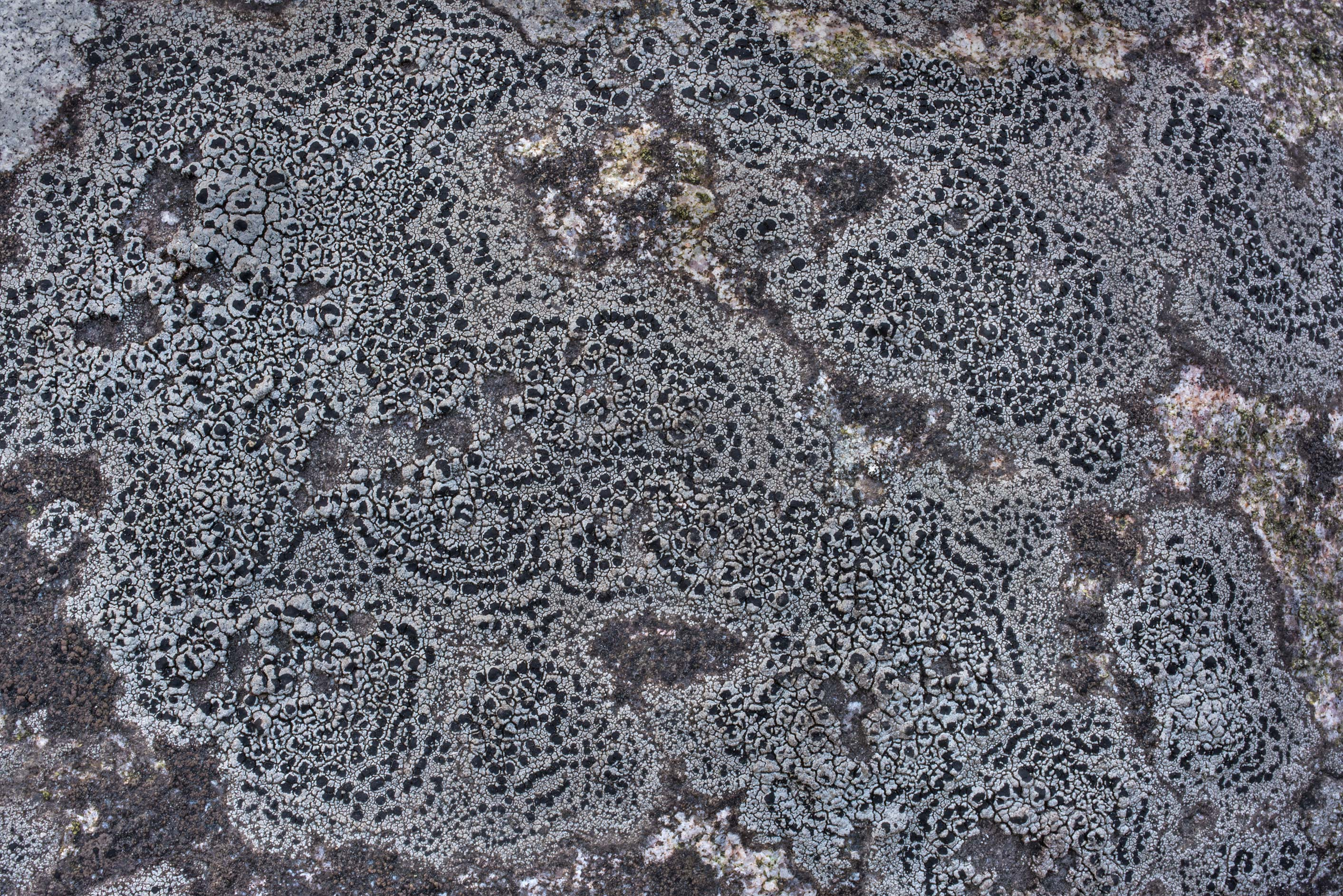 Circular patterns of map lichen Rhizocarpon...miles north from St.Petersburg. Russia