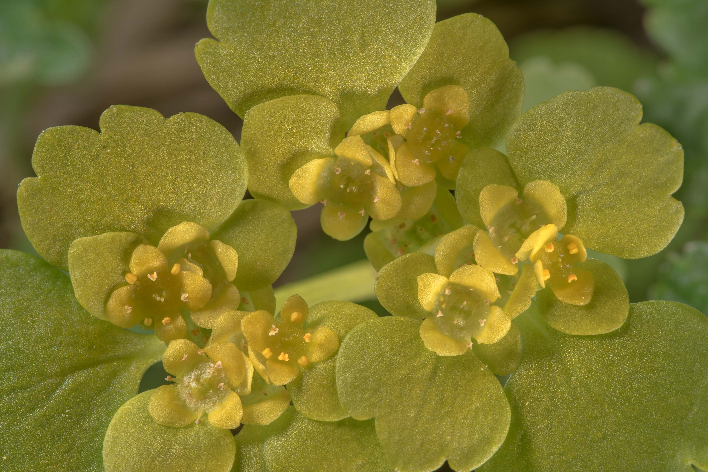 Alternate-leaved Golden Saxifrage (Chrysosplenium...south from St.Petersburg. Russia