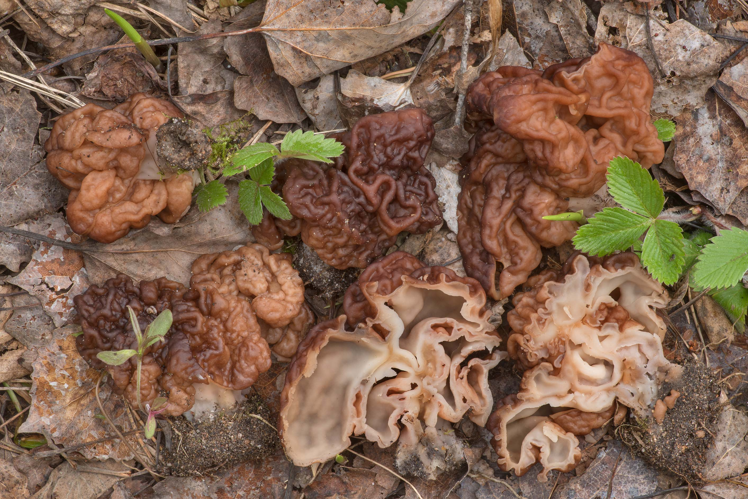 Group of false morel mushrooms (Gyromitra...north-west from St.Petersburg, Russia