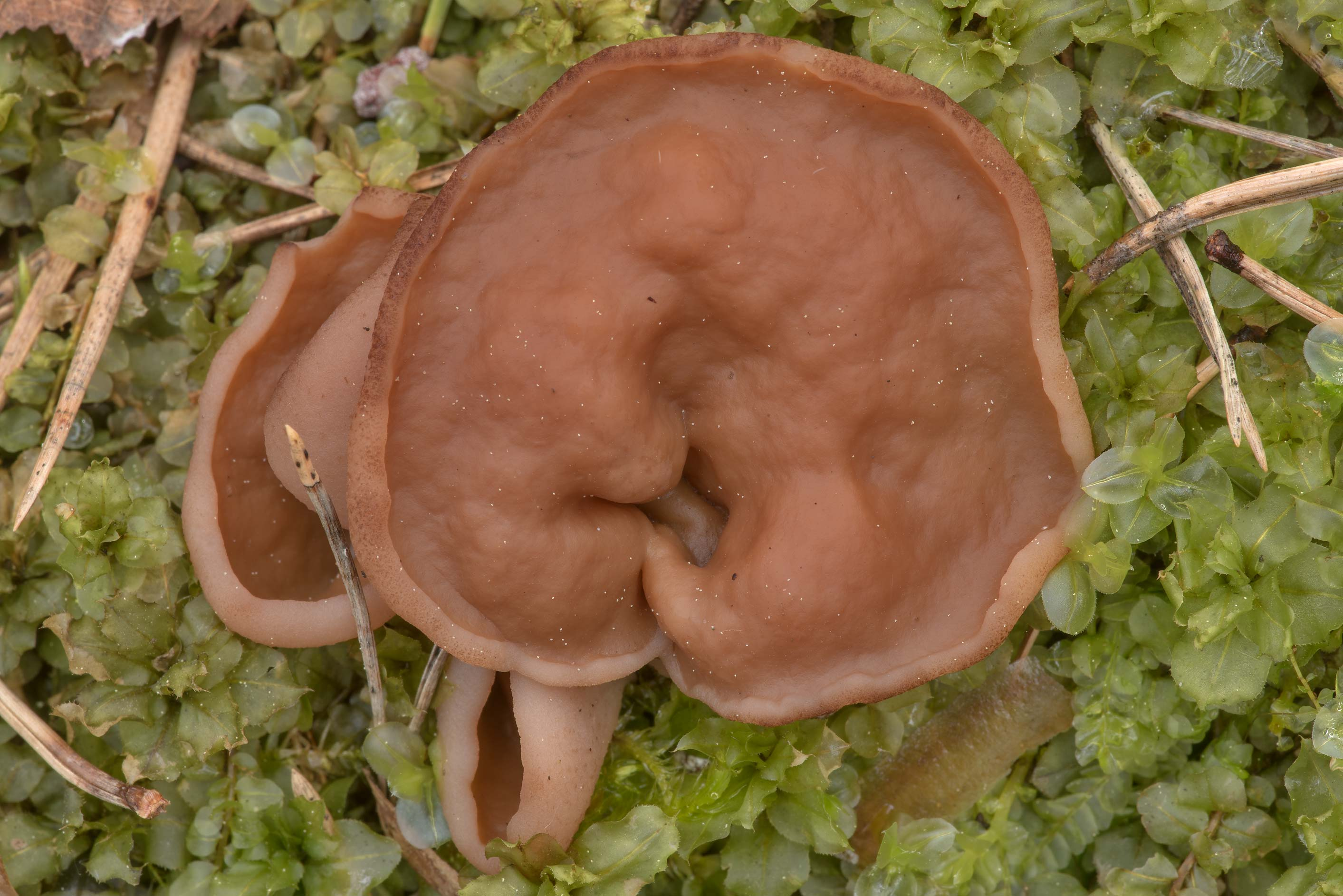 Cups of Pig's Ears mushroom (Discina ancilis) on...north-west from St.Petersburg, Russia