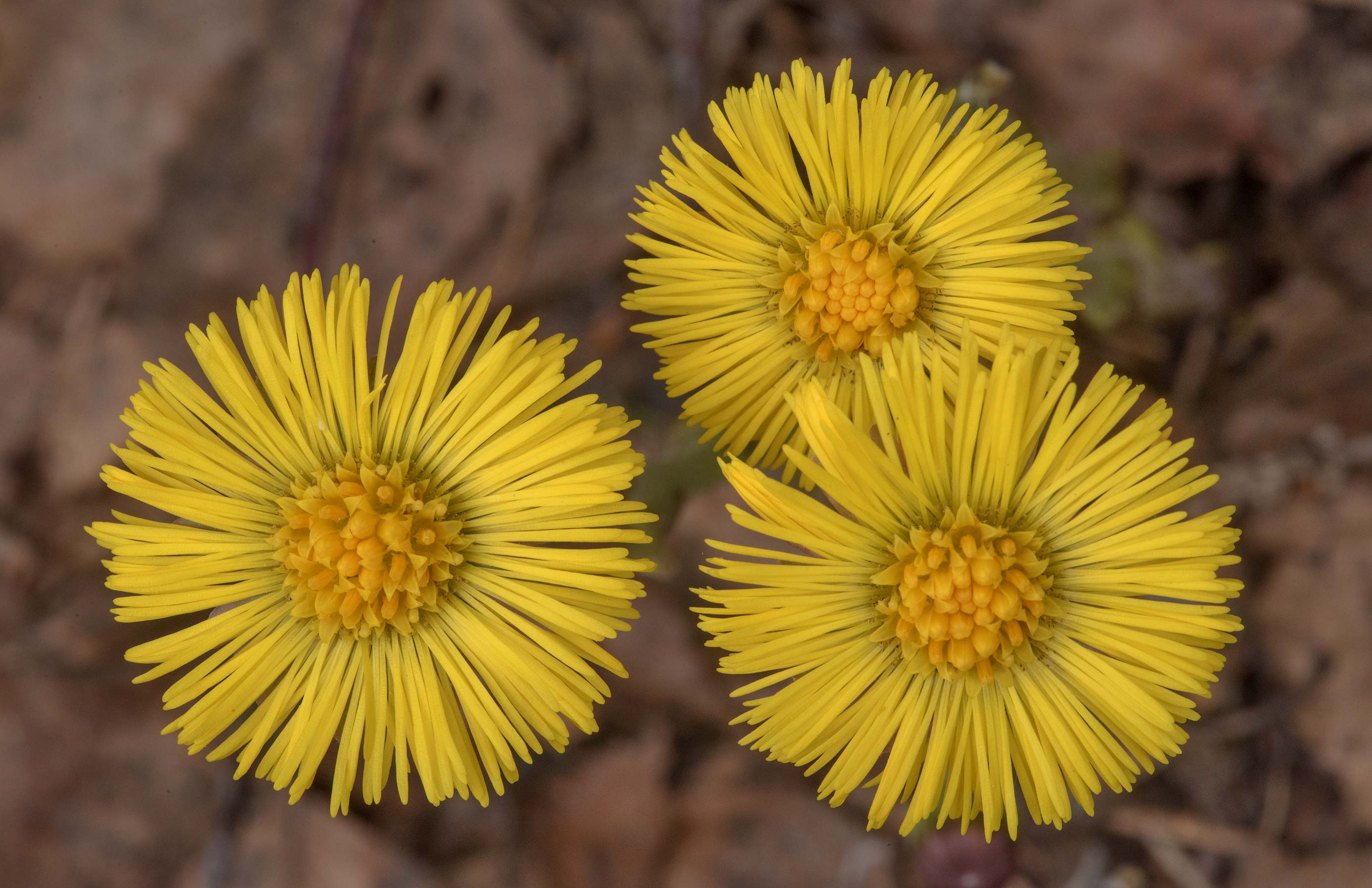 Spring flowers of Coltsfoot (Tussilago farfara...north-west from St.Petersburg, Russia