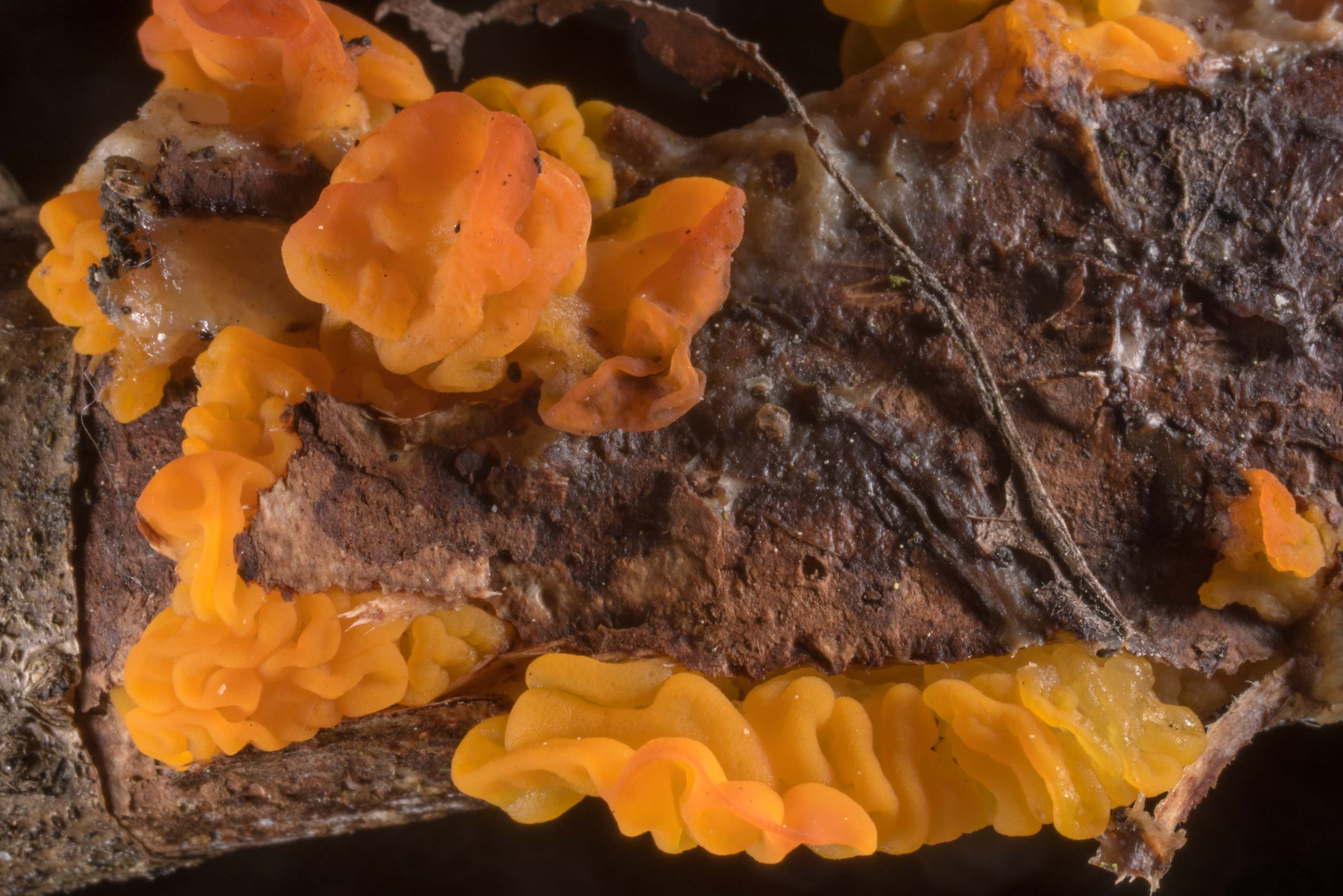 Yellow brain fungus (Tremella mesenterica) on a...West from St.Petersburg, Russia