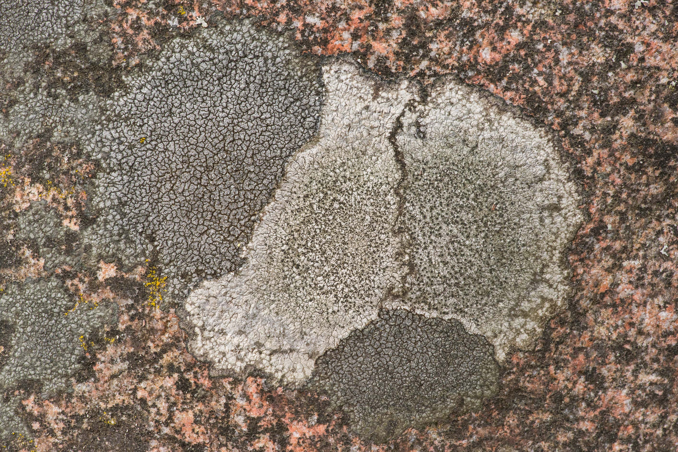 Pattern of saxicolous crustose lichens on a rock...Lake, east from St.Petersburg. Russia