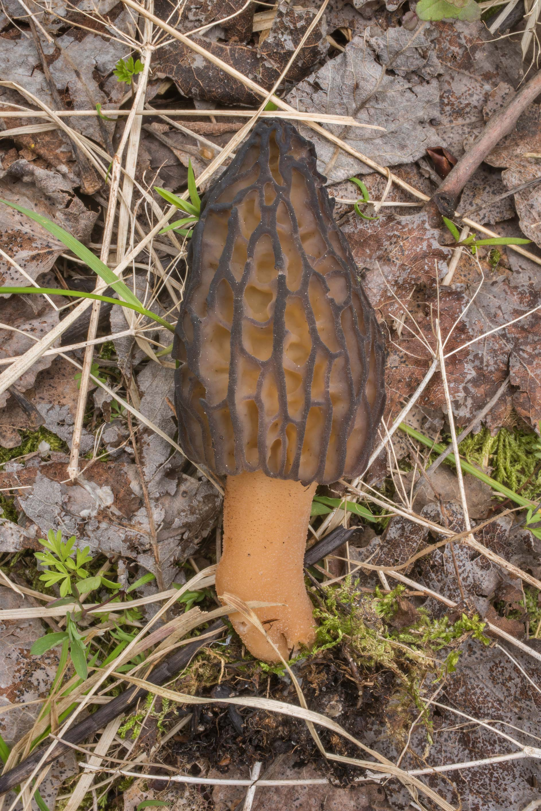 Side view of a morel mushroom Morchella esculenta...Lake, east from St.Petersburg. Russia
