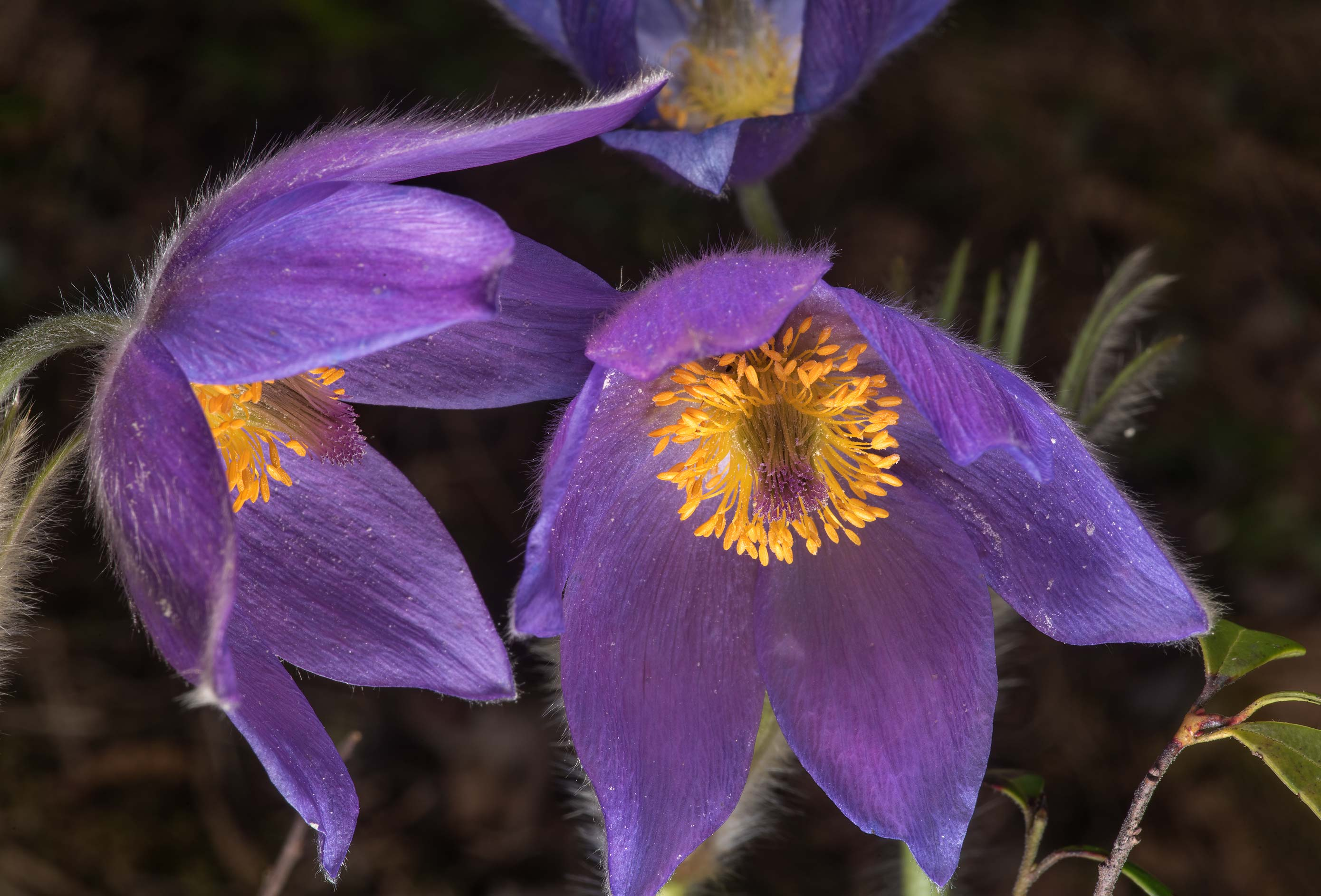 Purle flowers of common pasqueflower (Pulsatilla...north from St.Petersburg. Russia