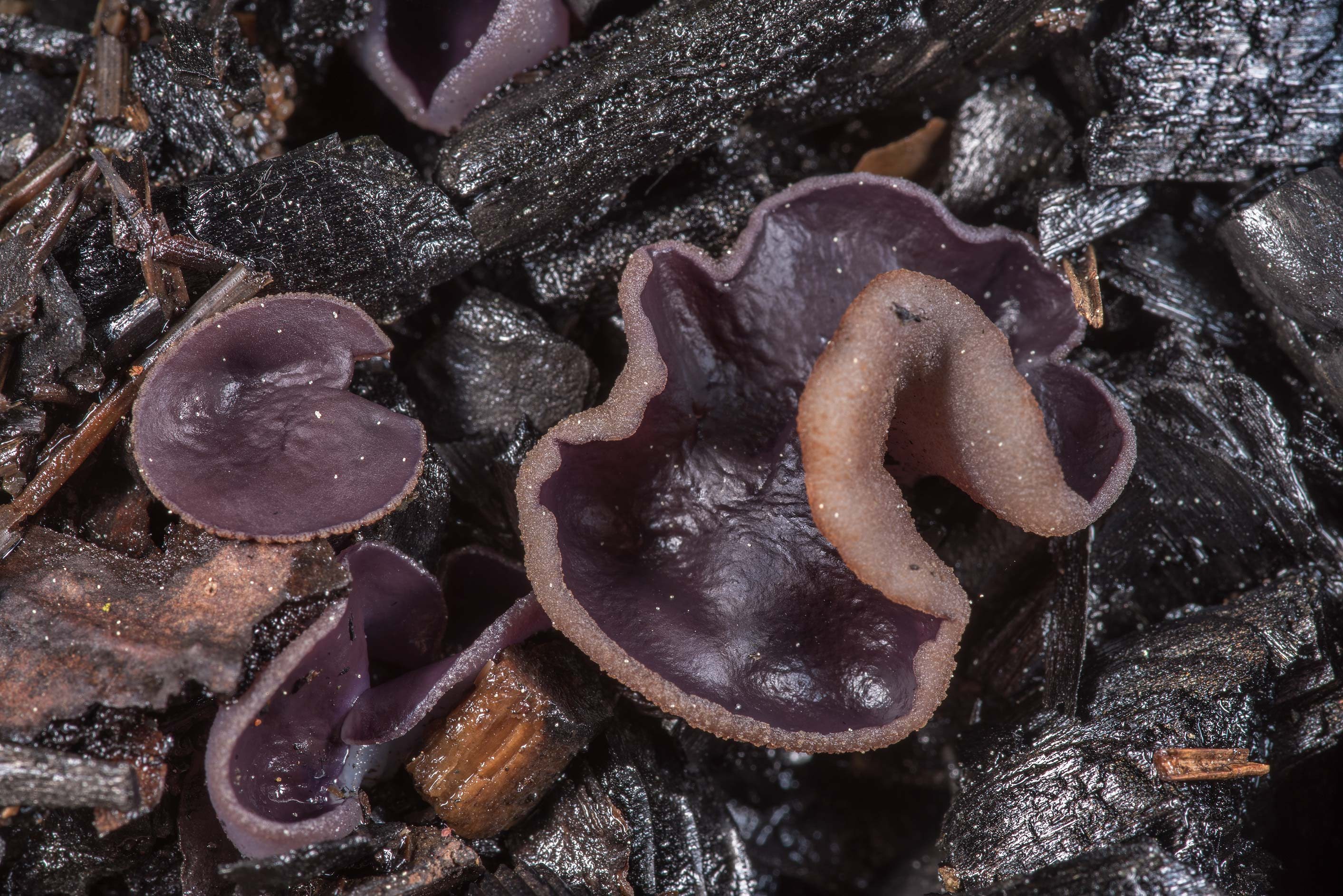 Violet fairy cup fungus (Peziza violacea) on...north from St.Petersburg. Russia