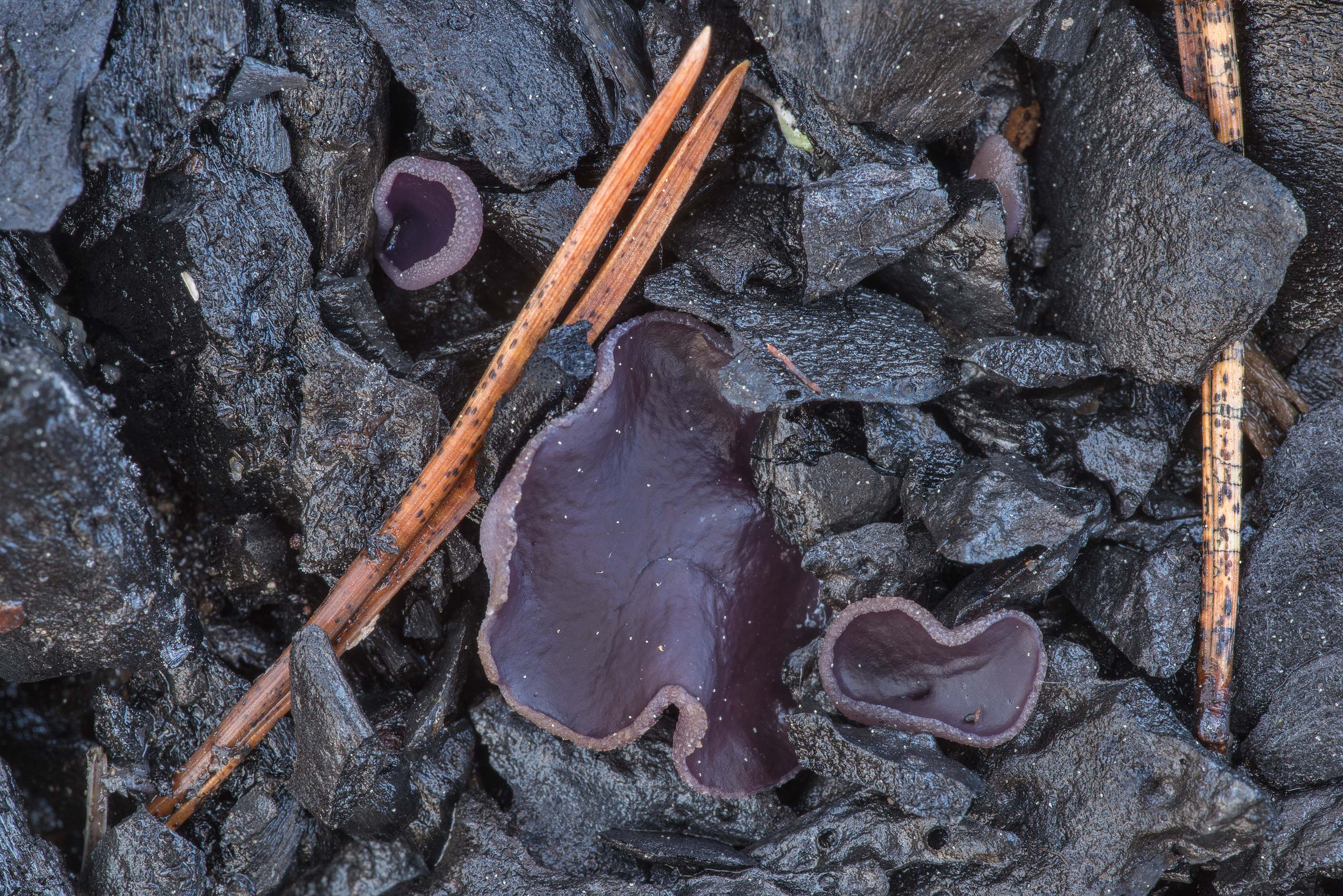 Violet fairy cup fungus (Peziza violacea) on a...north from St.Petersburg. Russia