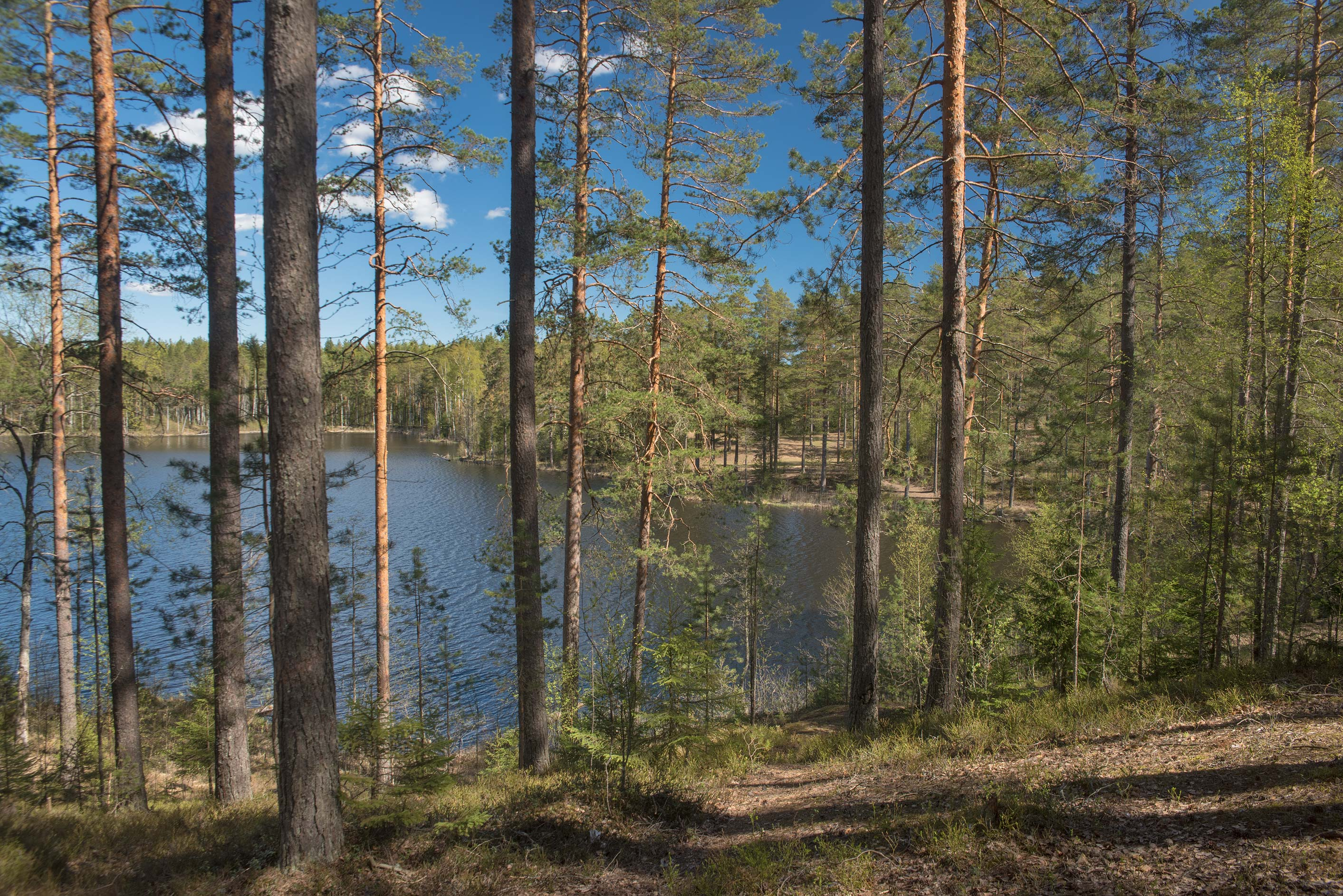 Hoikanjarvi (Nyrkovo) Lake behind pine trees from...north from St.Petersburg. Russia