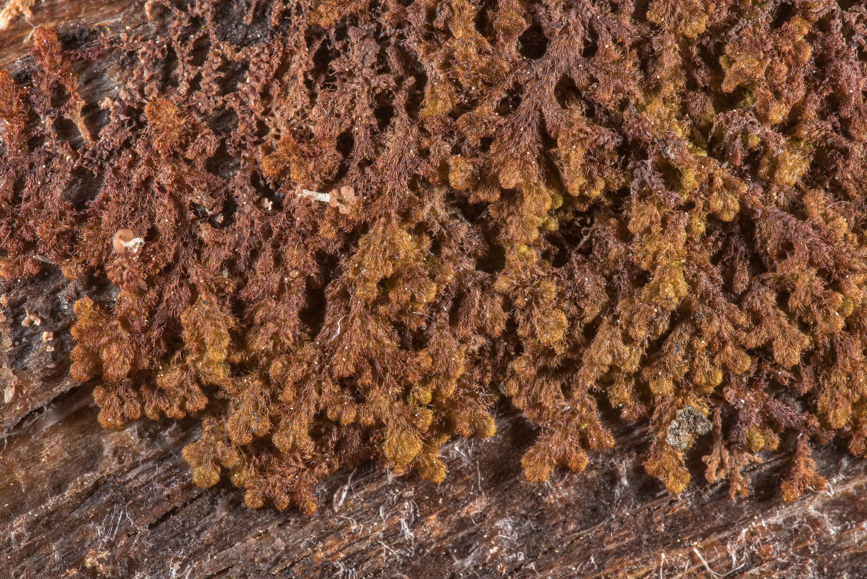 Brown liverwort on a rotting wood post near Orekhovo, north from St.Petersburg. Russia