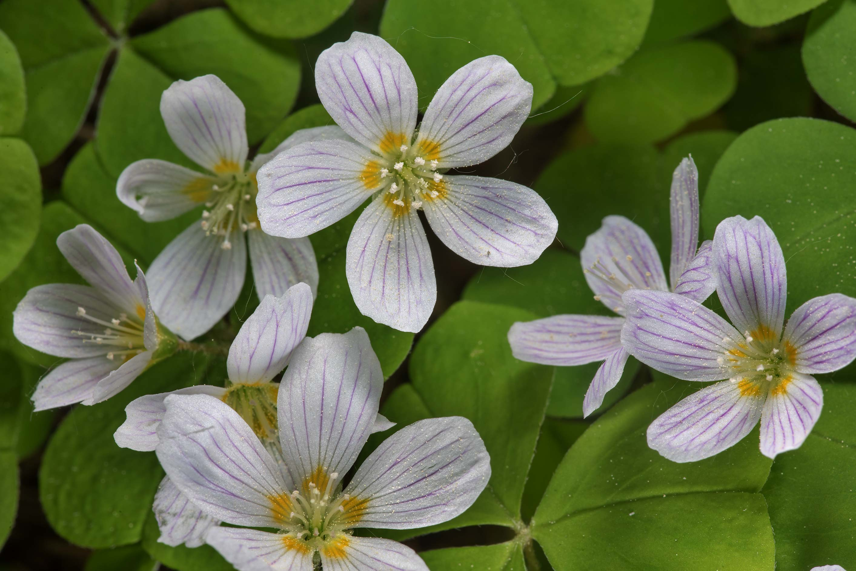 Wood sorrel (Oxalis acetosella, Russian name...a suburb of St.Petersburg, Russia