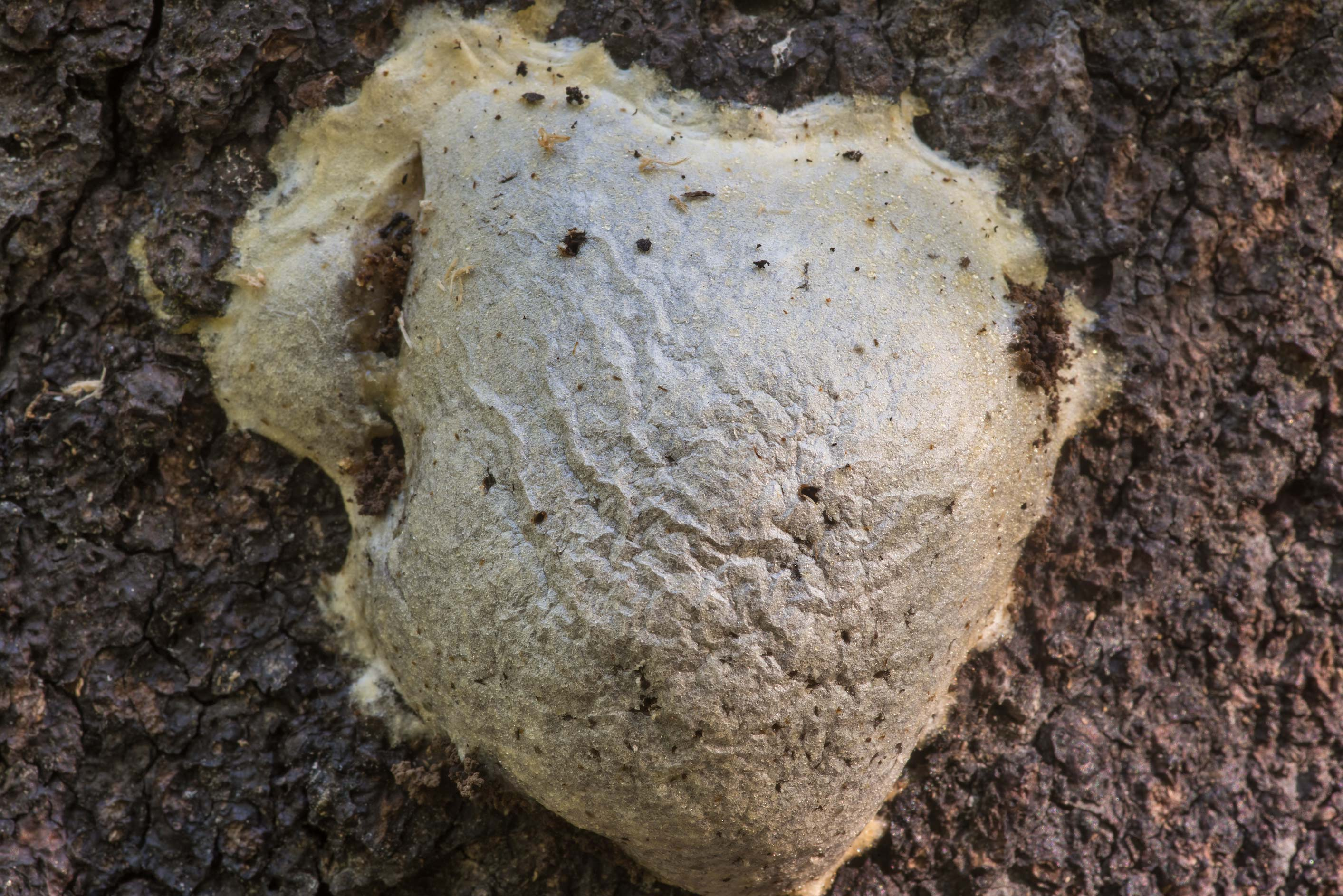 Mature slime mold Reticularia lycoperdon on a tree in Sosnovka Park. St.Petersburg, Russia