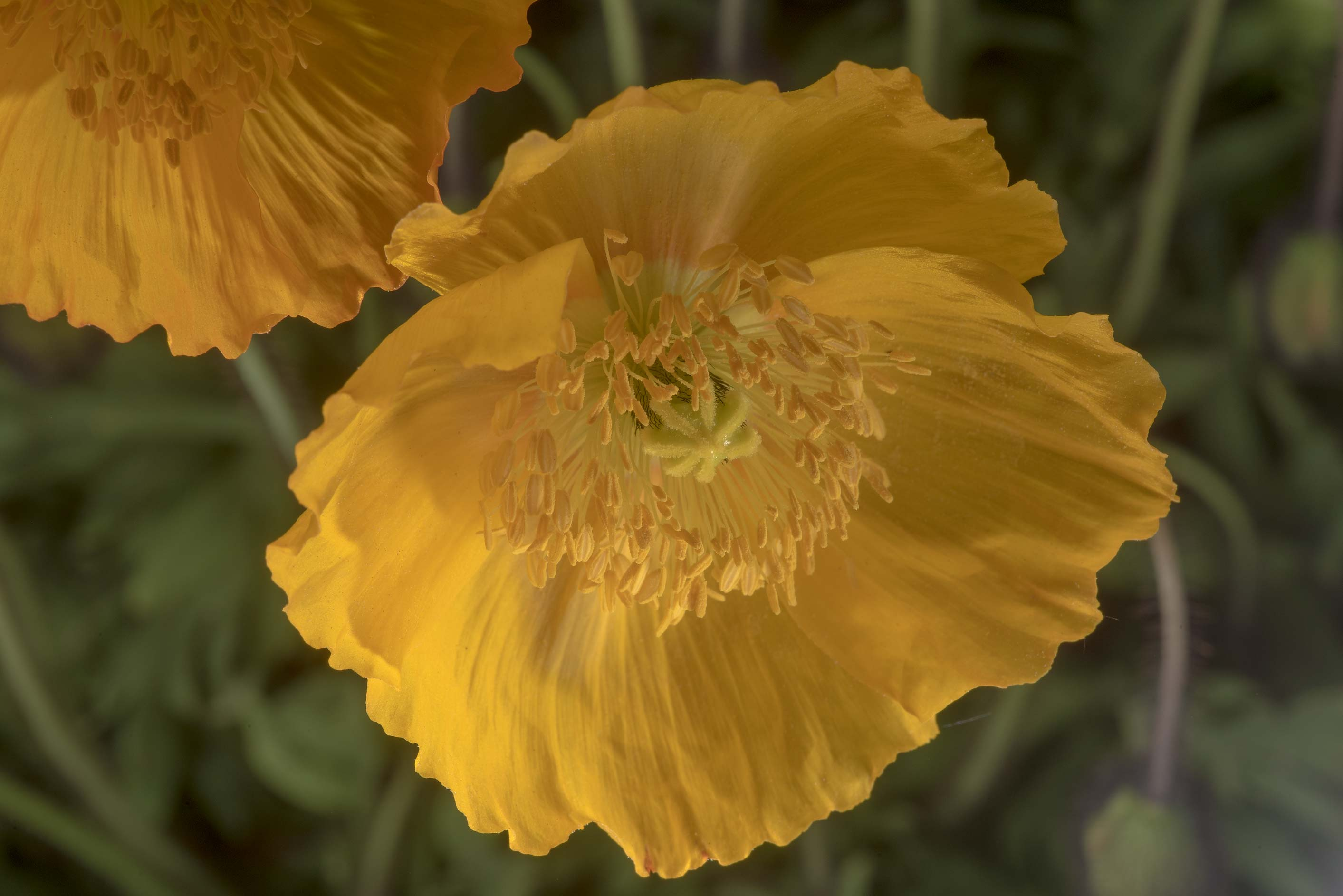 Golden poppy in Peter the Great Botanical Garden...Institute. St.Petersburg, Russia