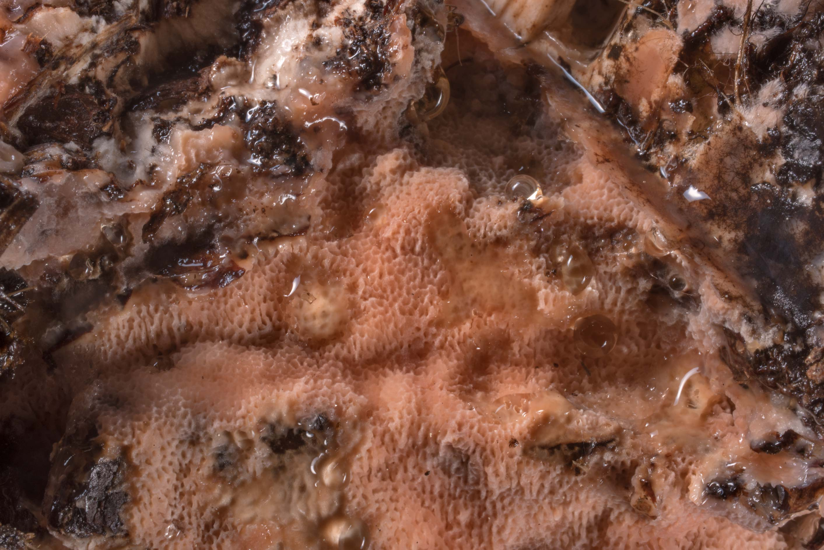 Close up of brown-rot fungus Rhodonia placenta on...north-west from St.Petersburg. Russia