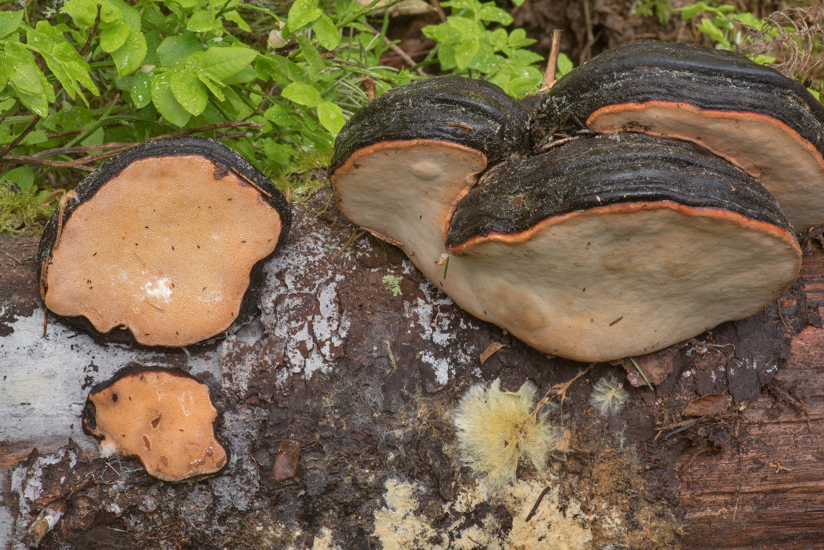 Red-belted bracket mushrooms (Fomitopsis pinicola...miles north from St.Petersburg. Russia