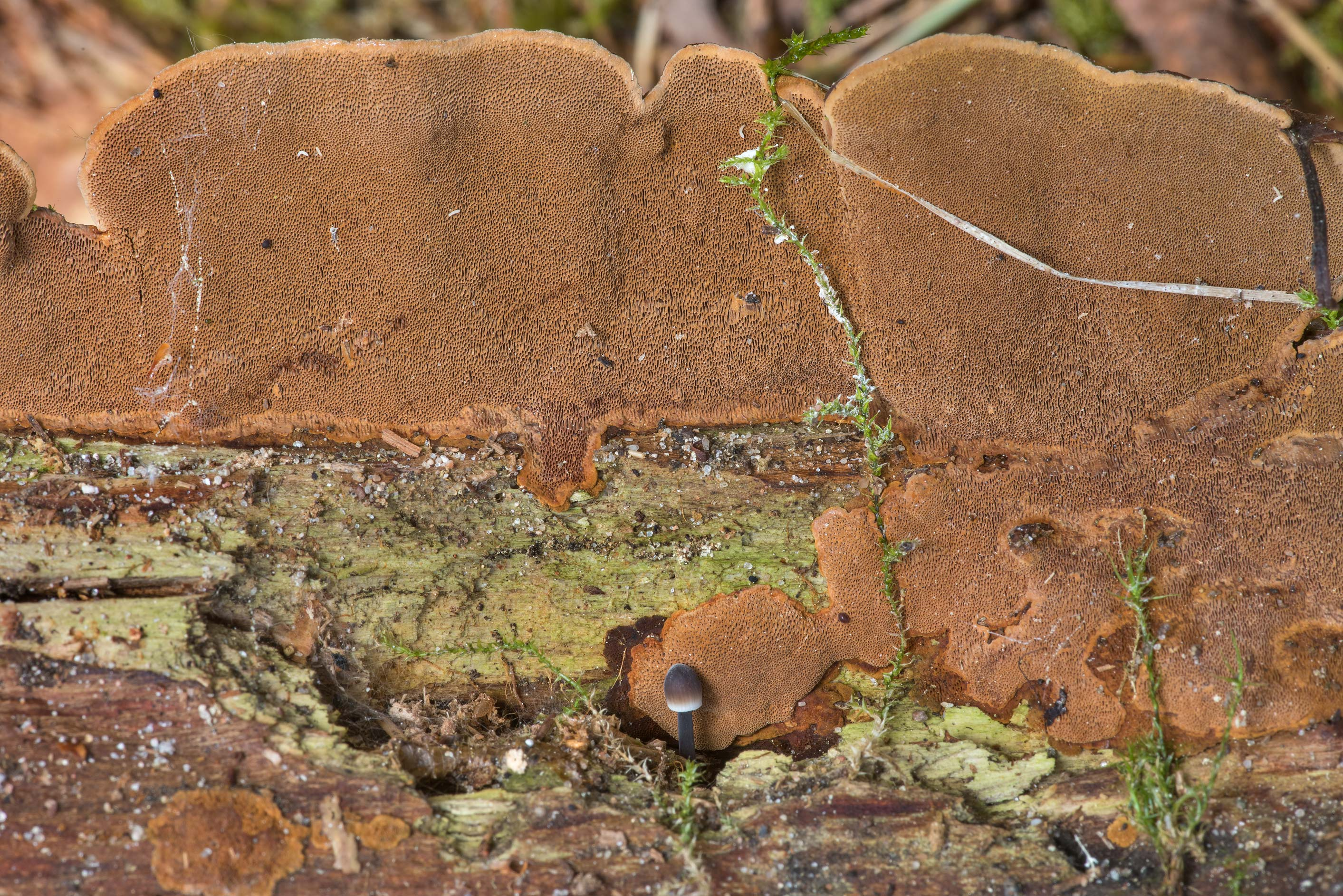 Underside of some brown polypore mushroom in...miles north from St.Petersburg. Russia