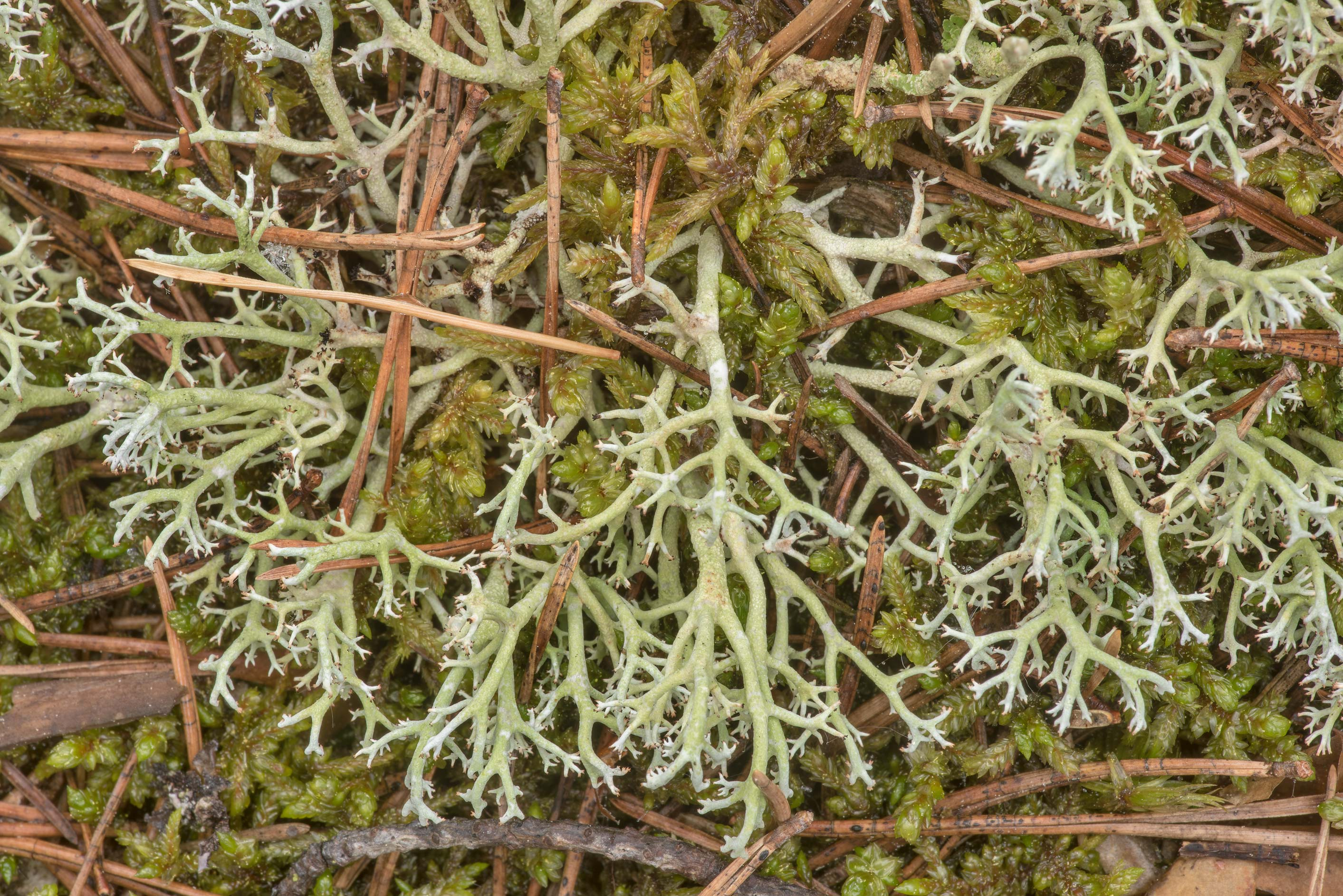 Species of reindeer lichen (Cladonia) in...miles north from St.Petersburg. Russia
