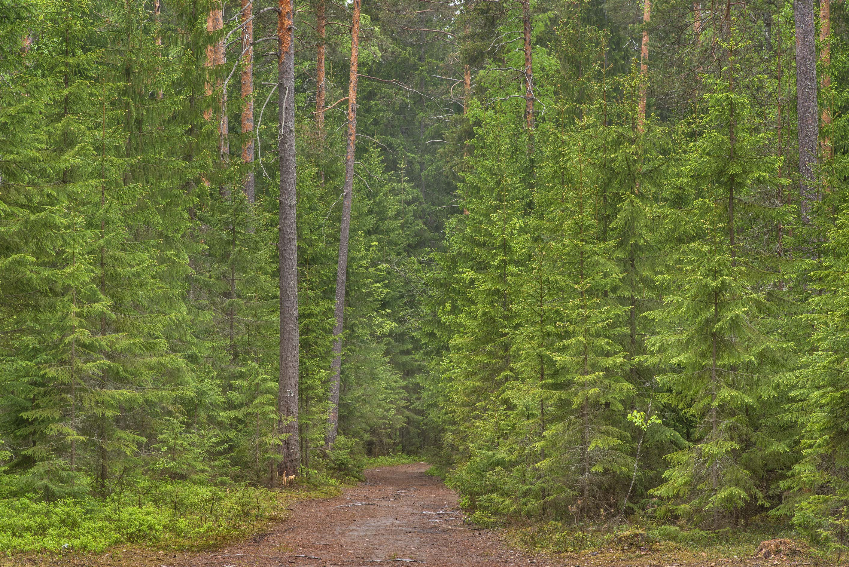 Young spruce trees near Orekhovo, north from St.Petersburg. Russia