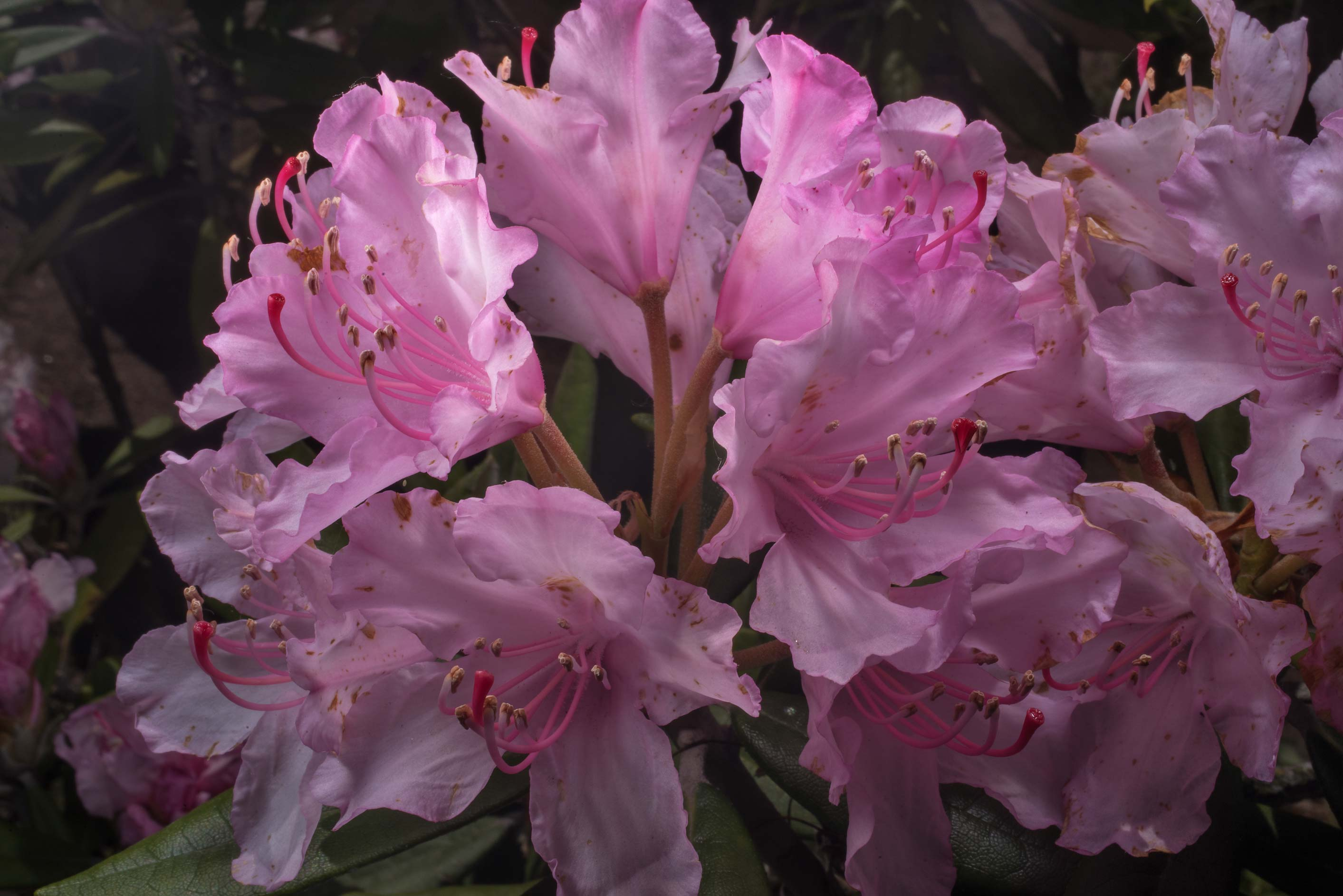 Large pink flowers of azalea (Rhododendron) in...Institute. St.Petersburg, Russia