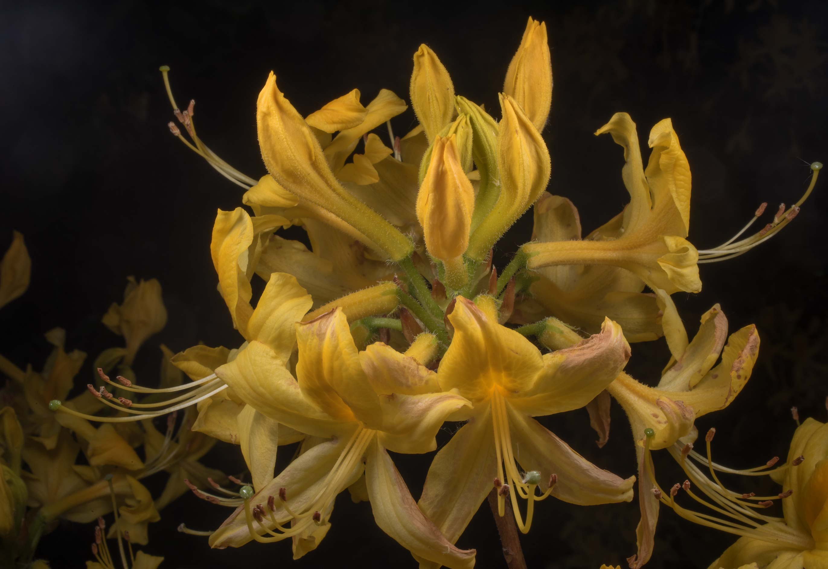 Yellow azalea (Rhododendron) in Peter the Great...Institute. St.Petersburg, Russia