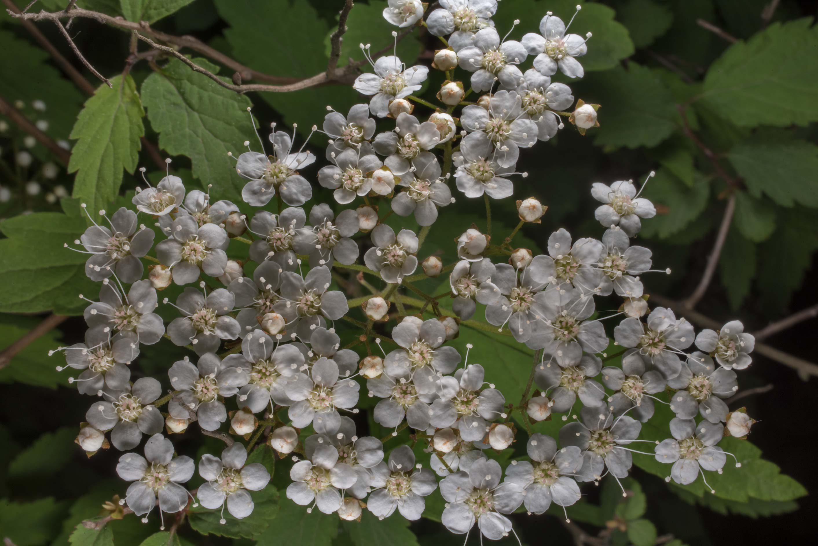White hawthorn flowers in Peter the Great...Institute. St.Petersburg, Russia