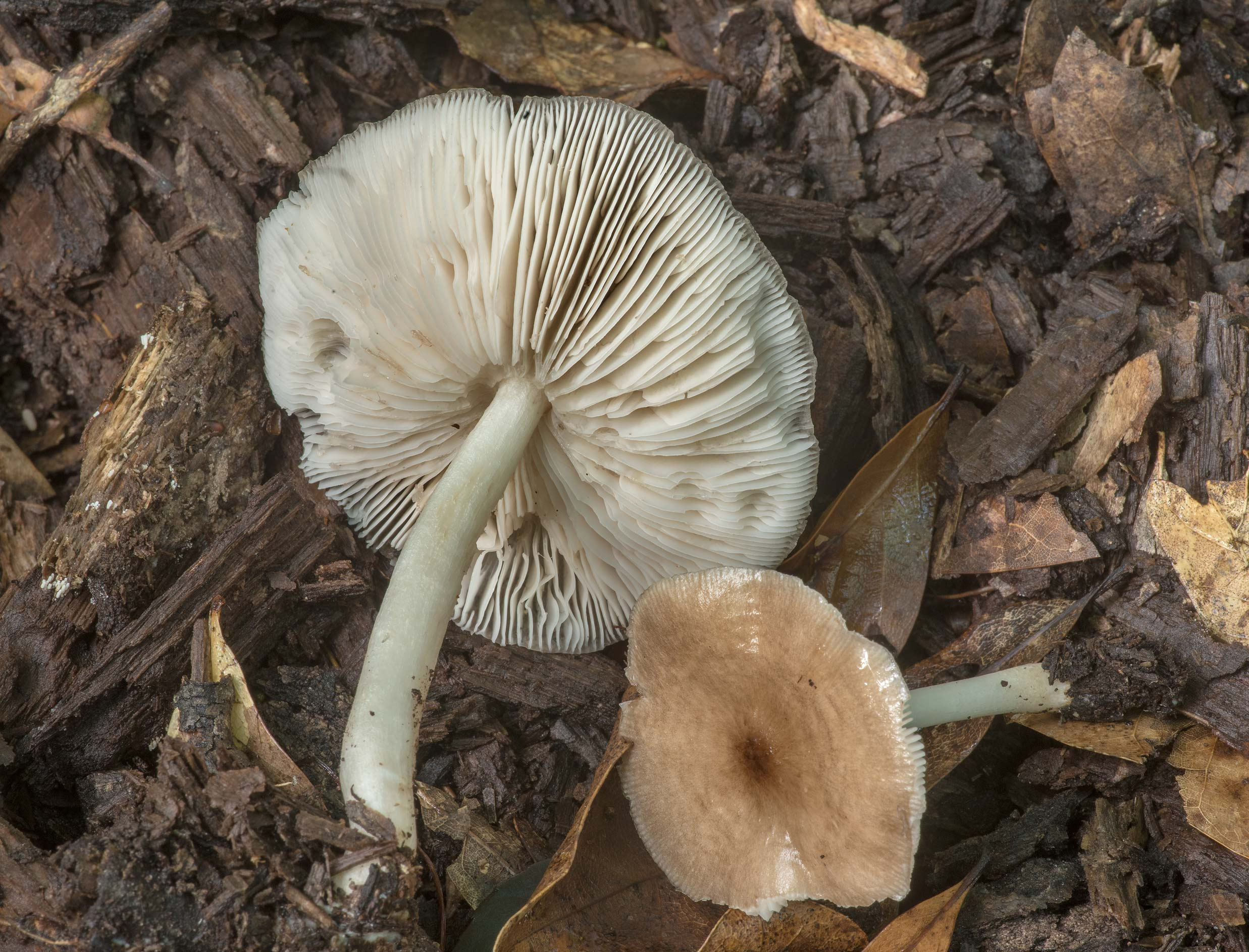 Underside of deer shield mushrooms (Pluteus...Creek Park. College Station, Texas