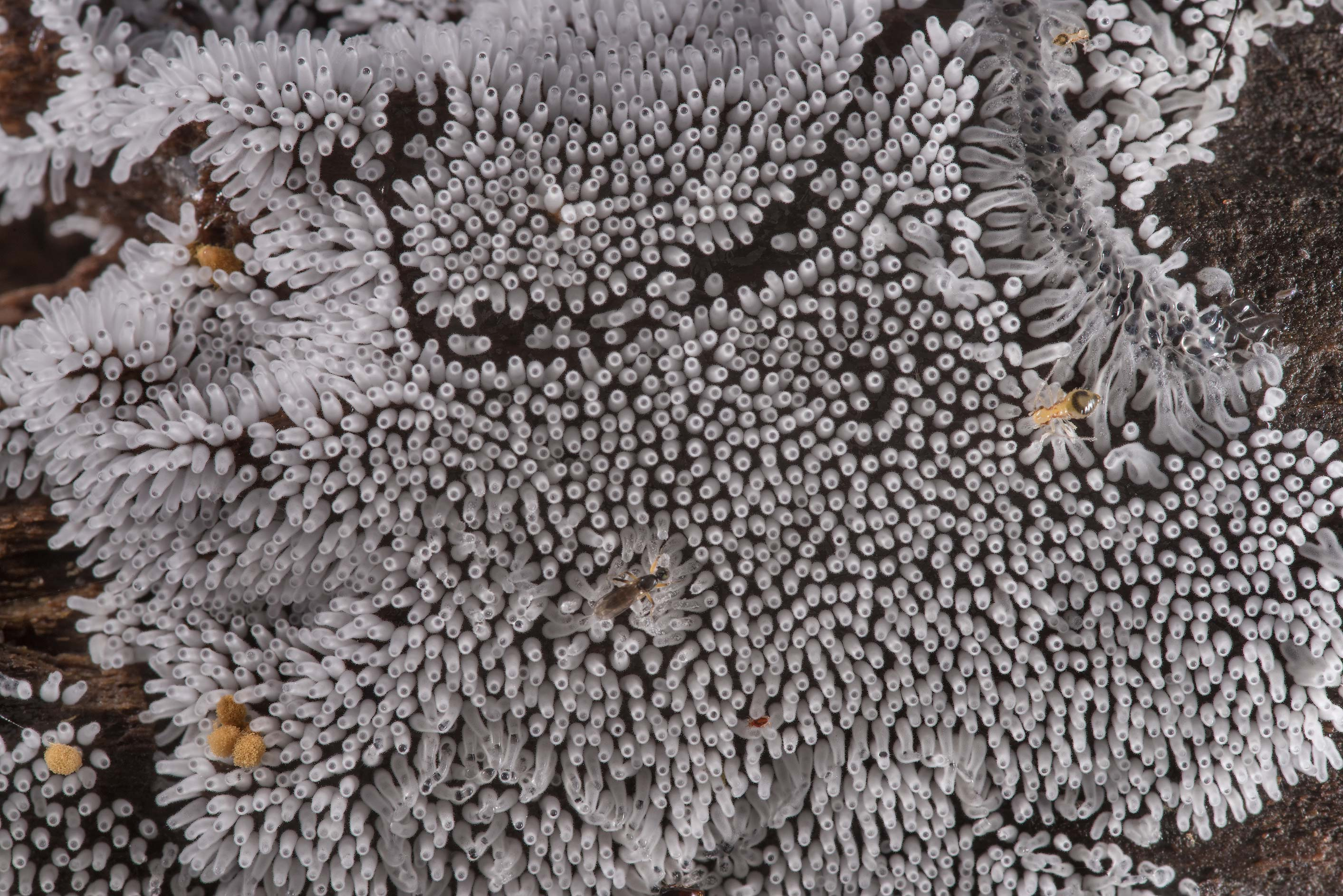 Coral slime mold (Ceratiomyxa fruticulosa) on a...National Forest near Huntsville. Texas