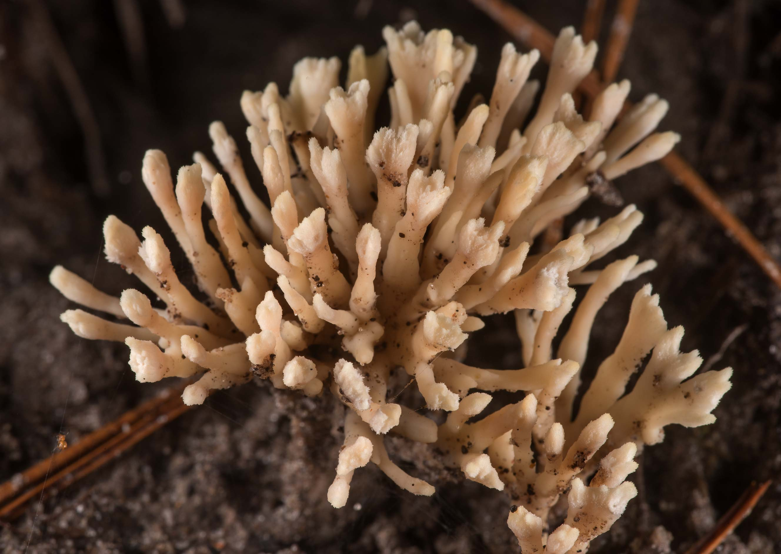False coral mushrooms (Tremellodendron...National Forest near Huntsville. Texas