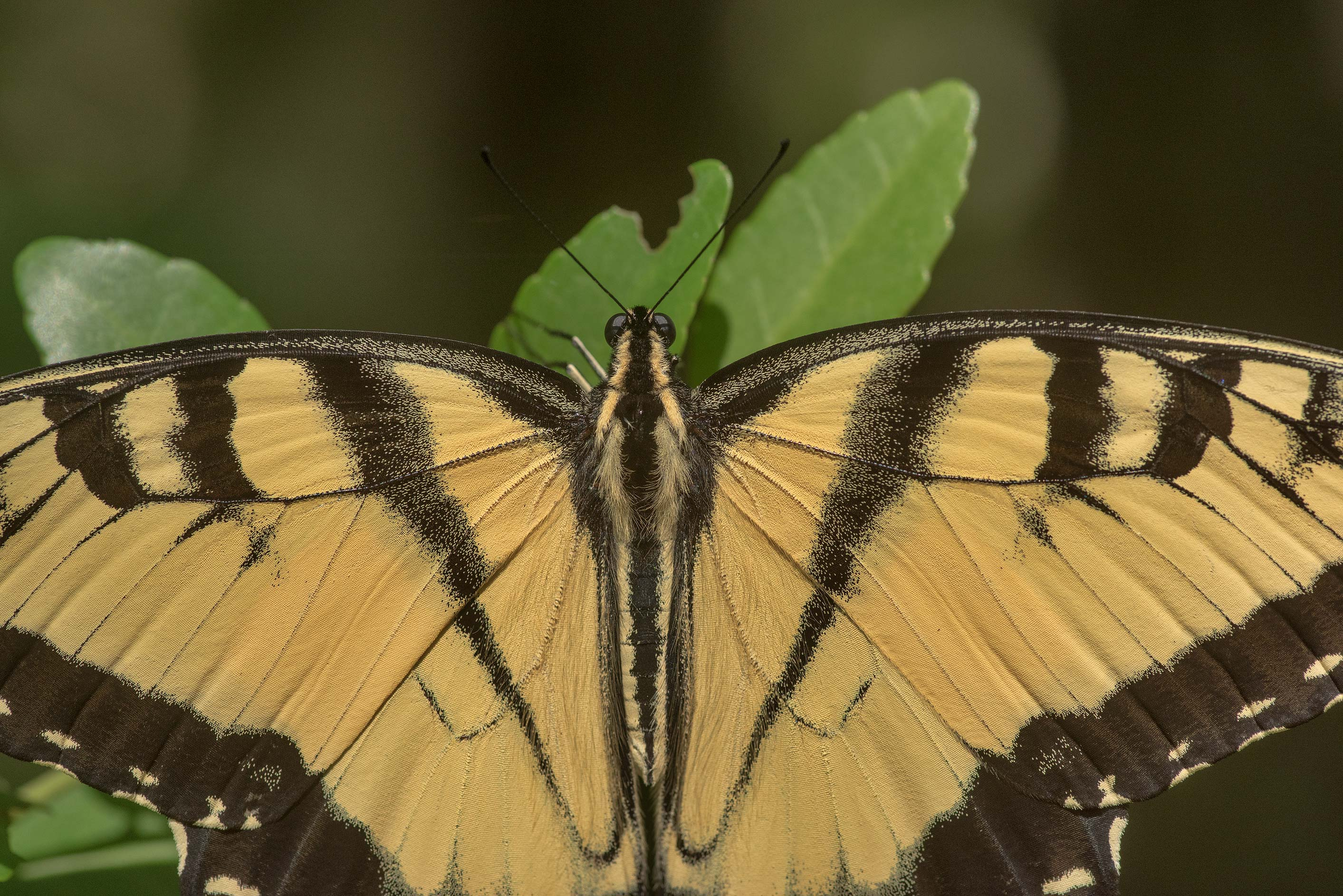 Close up of giant Swallowtail butterfly (Papilio...National Forest near Huntsville. Texas