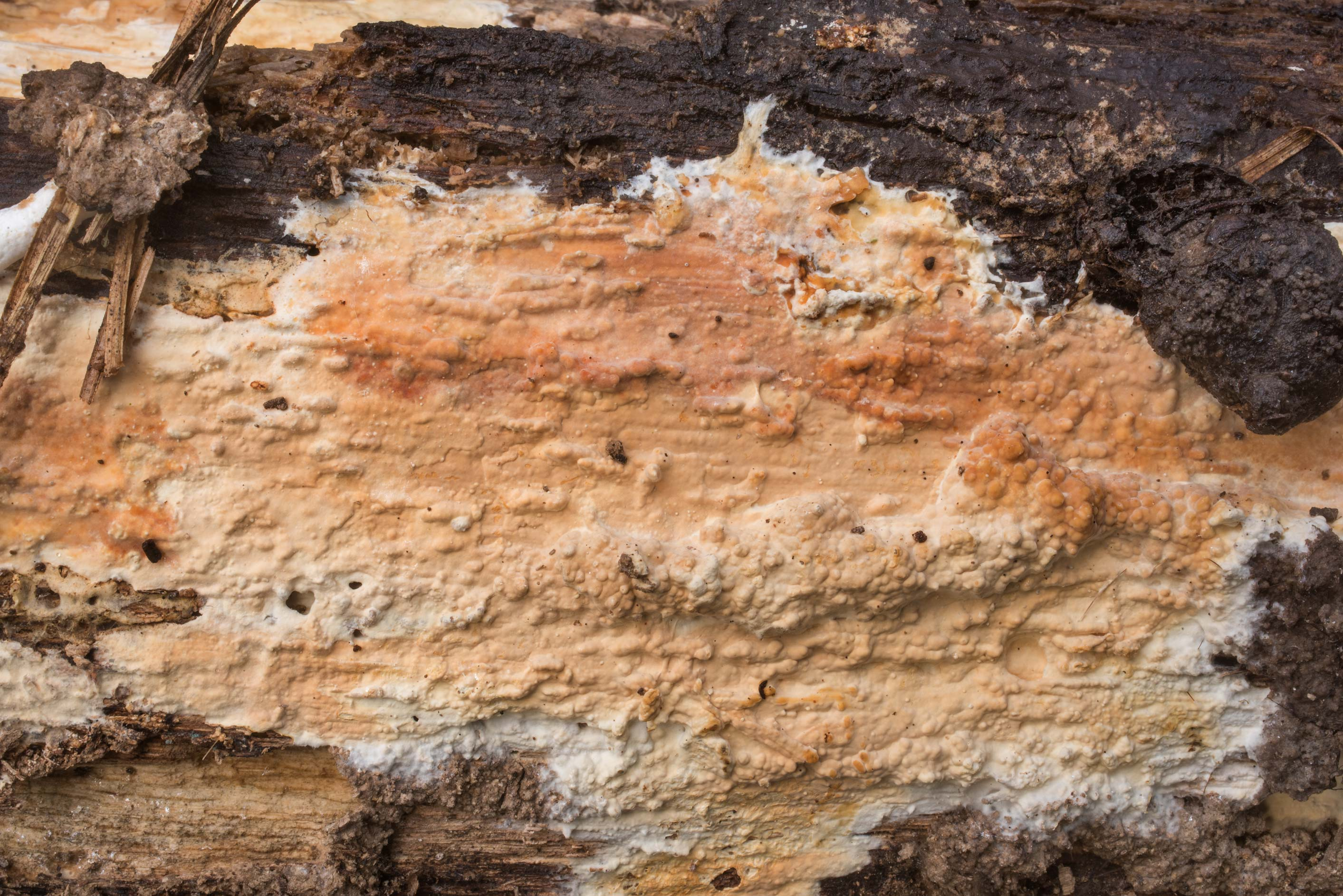 Texture of orange corticioid (crust) fungus on a...Creek Park. College Station, Texas