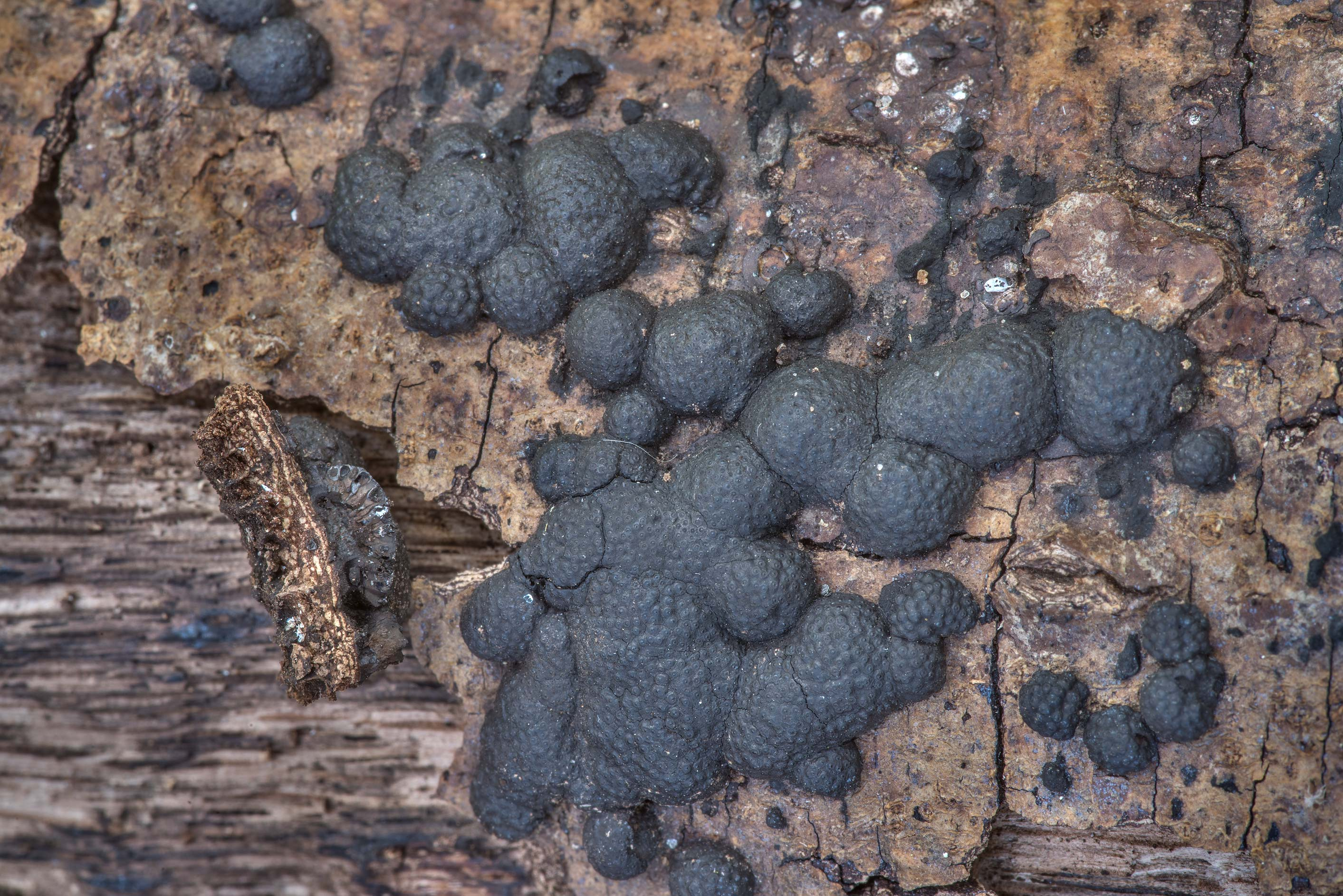Close-up of beech woodwart fungus (Hypoxylon...State Historic Site. Washington, Texas
