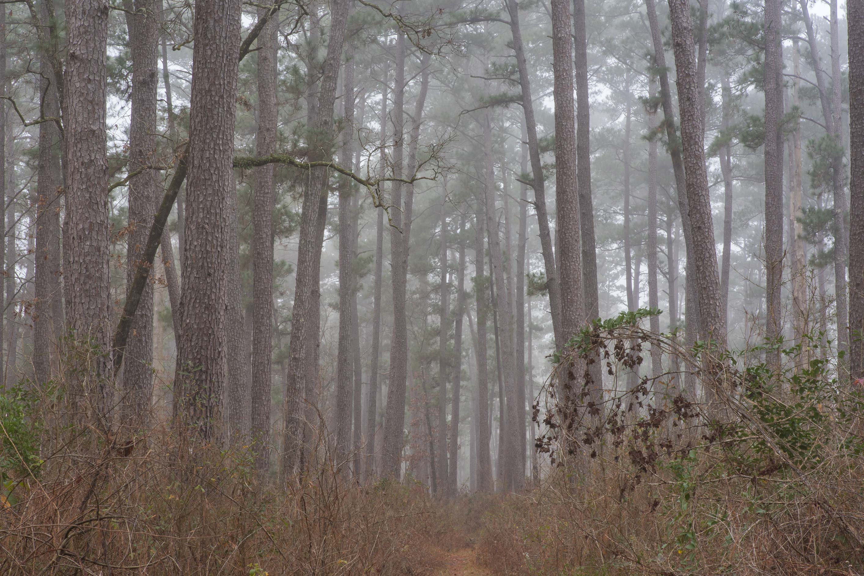 Pine forest in mist south-west from Trail Head No...Forest, north from Montgomery. Texas