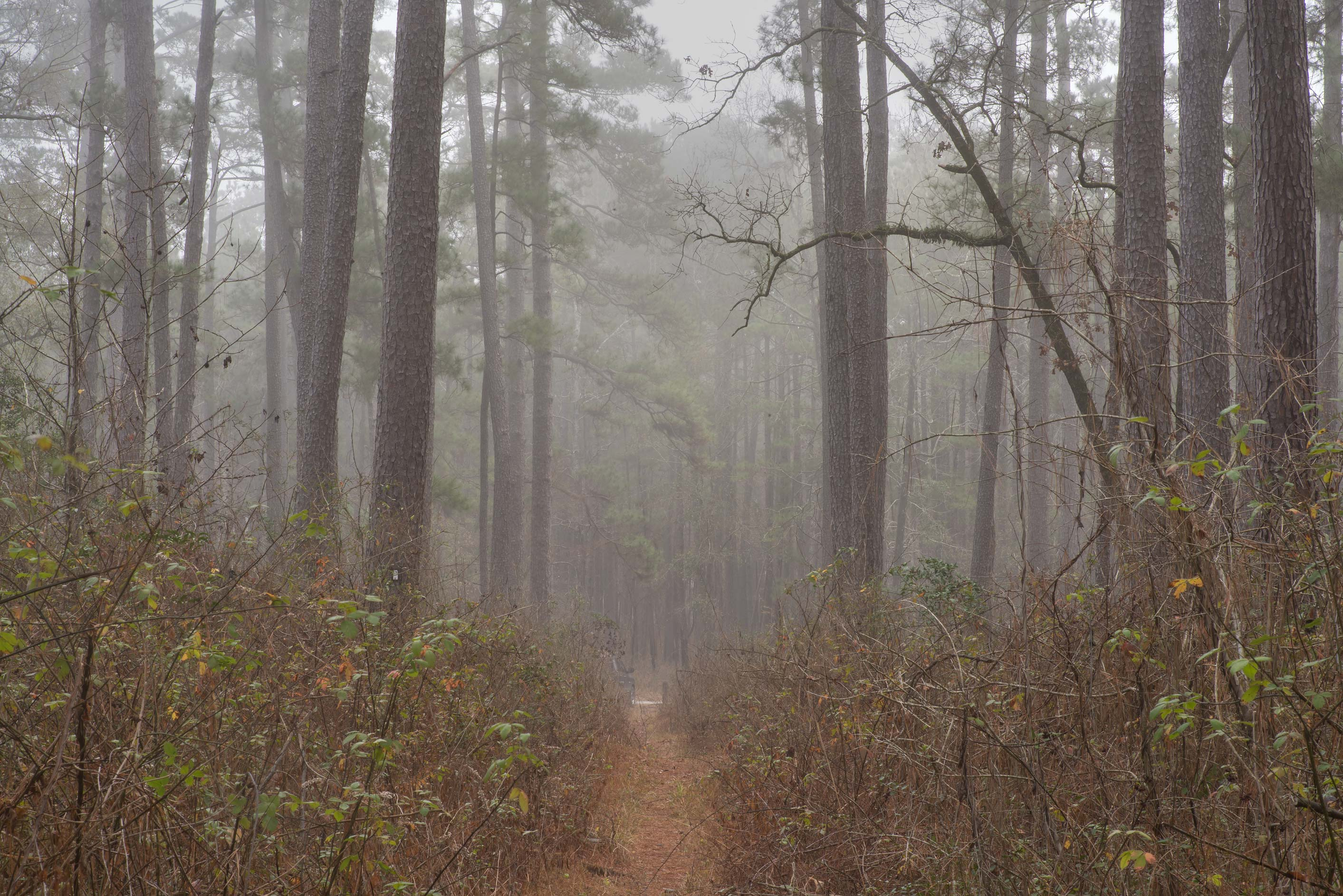 Outlines of trees in fog south-west from Trail...Forest, north from Montgomery. Texas