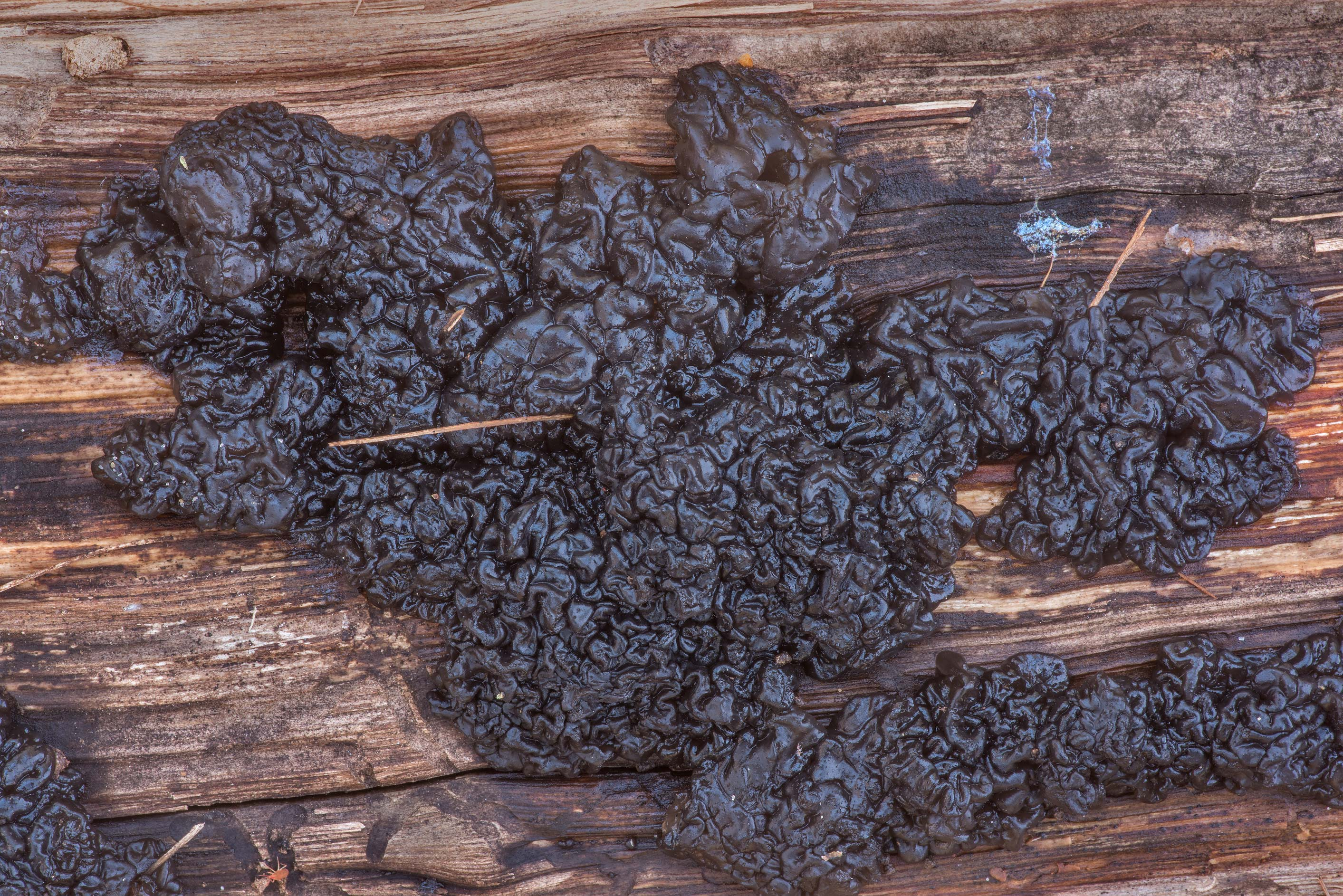 Black witches' butter fungus (Exidia glandulosa...Forest north from Montgomery. Texas