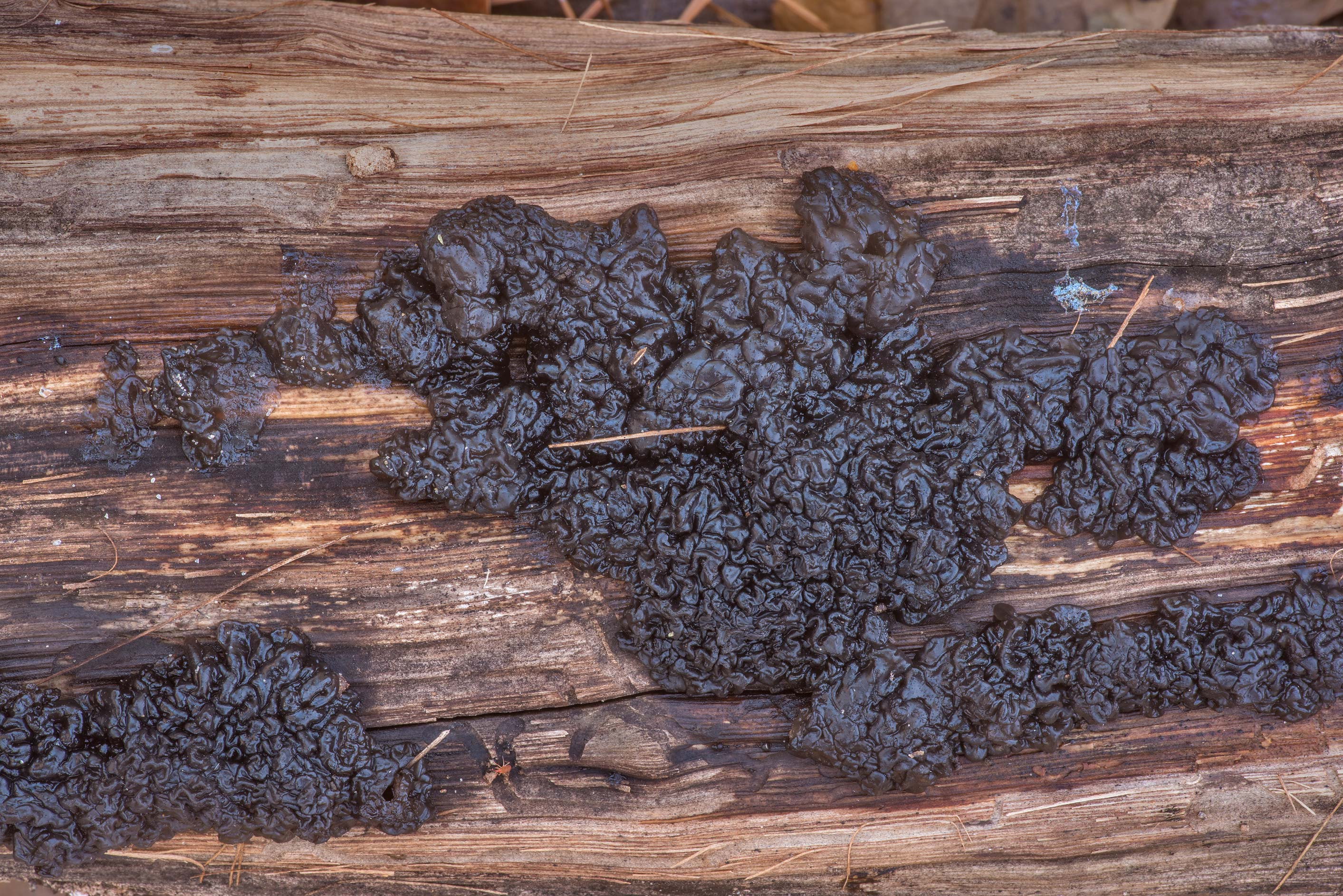 Warty fungus black jelly roll (Exidia glandulosa...Forest north from Montgomery. Texas