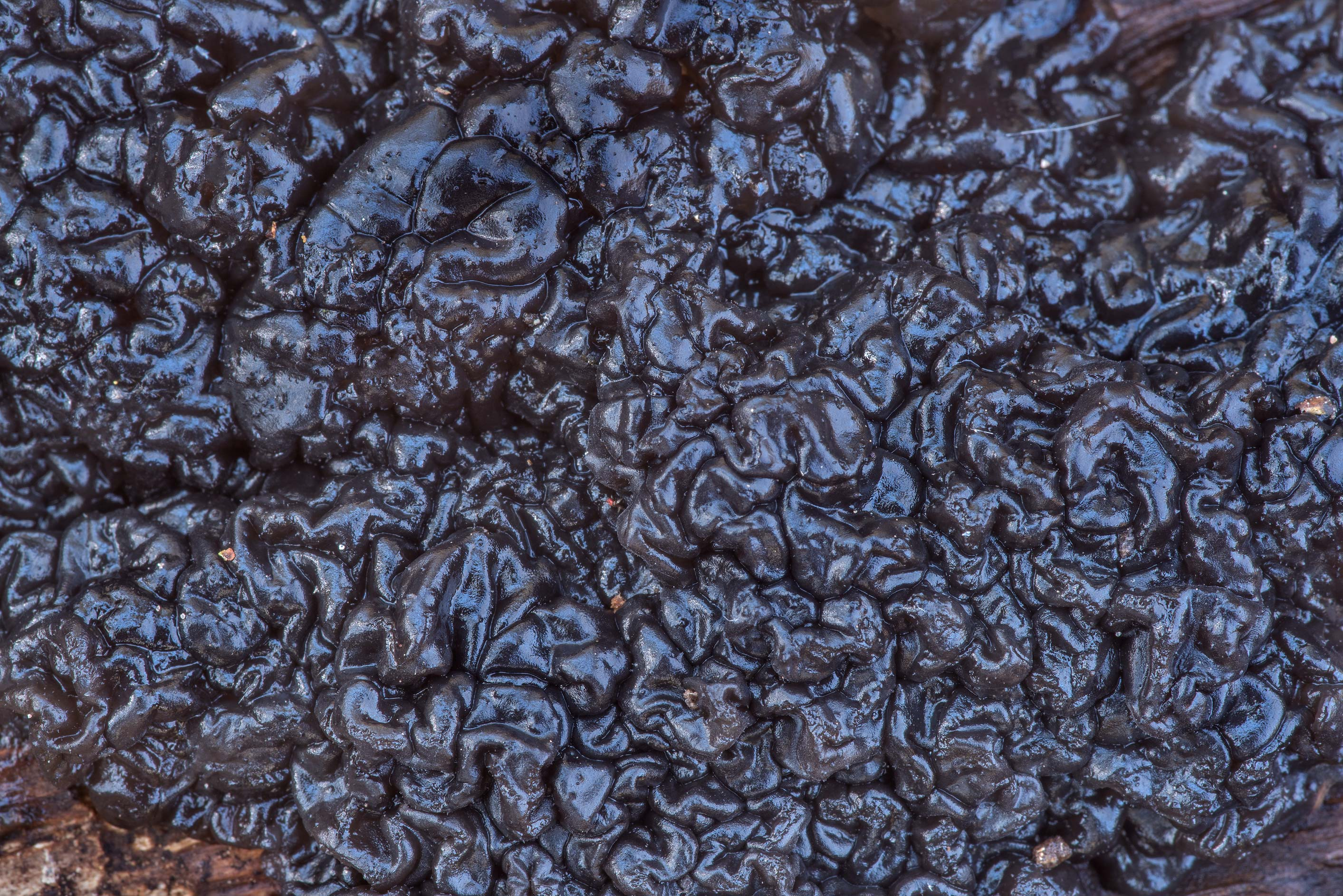Texture of black jelly roll fungus (Exidia...Forest north from Montgomery. Texas