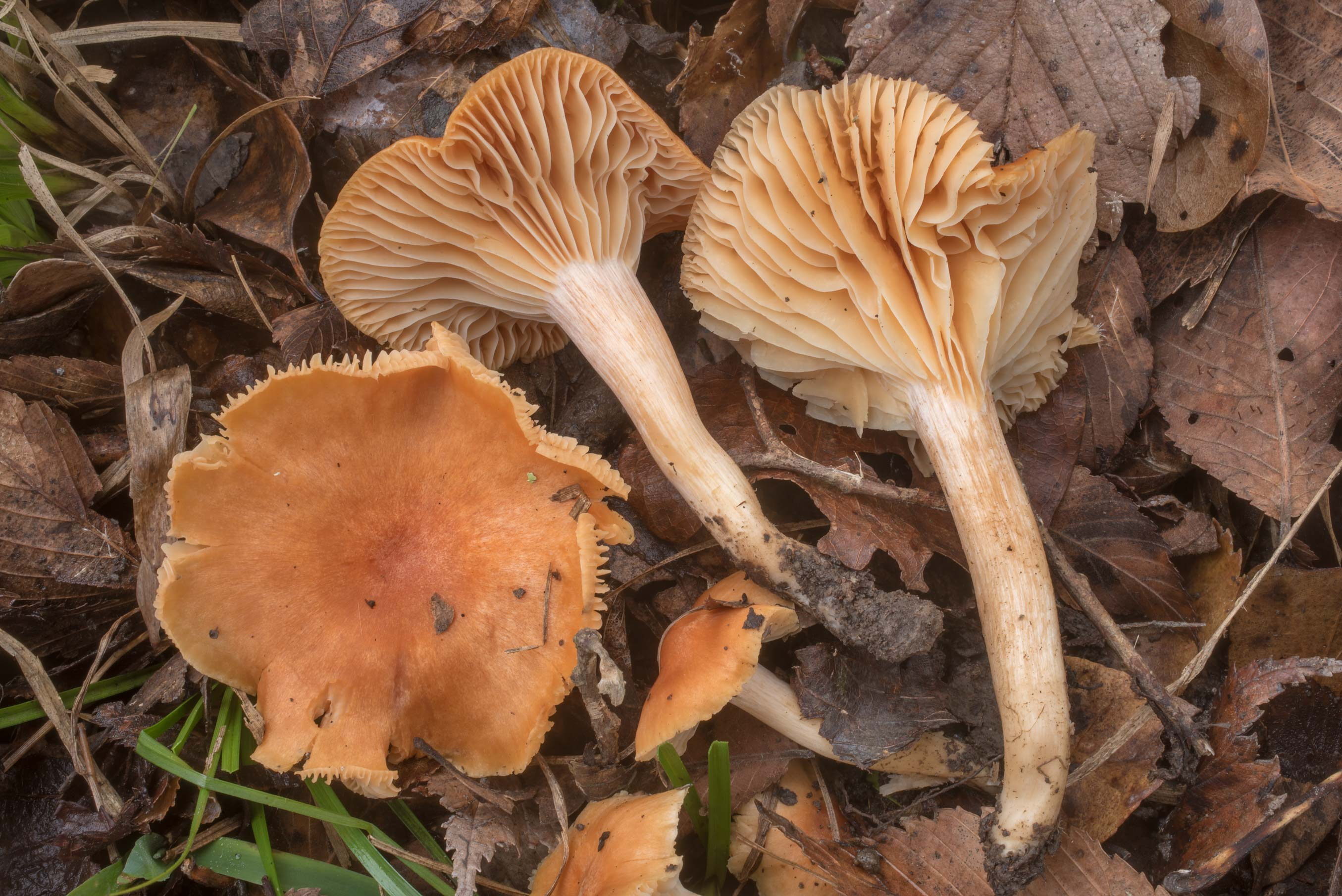 Gills of meadow waxy cap mushroom (Hygrophorus...Creek Park. College Station, Texas