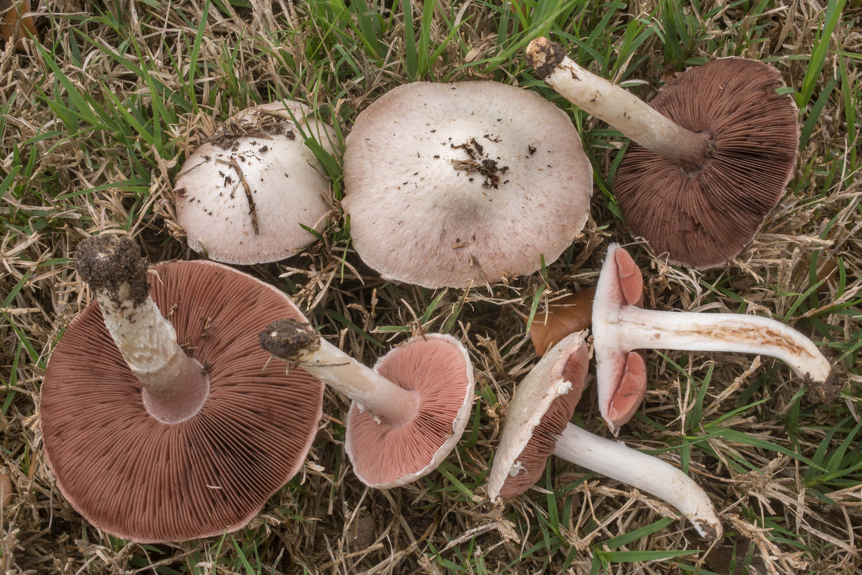 Dissected meadow mushrooms (Agaricus campestris...M University. College Station, Texas