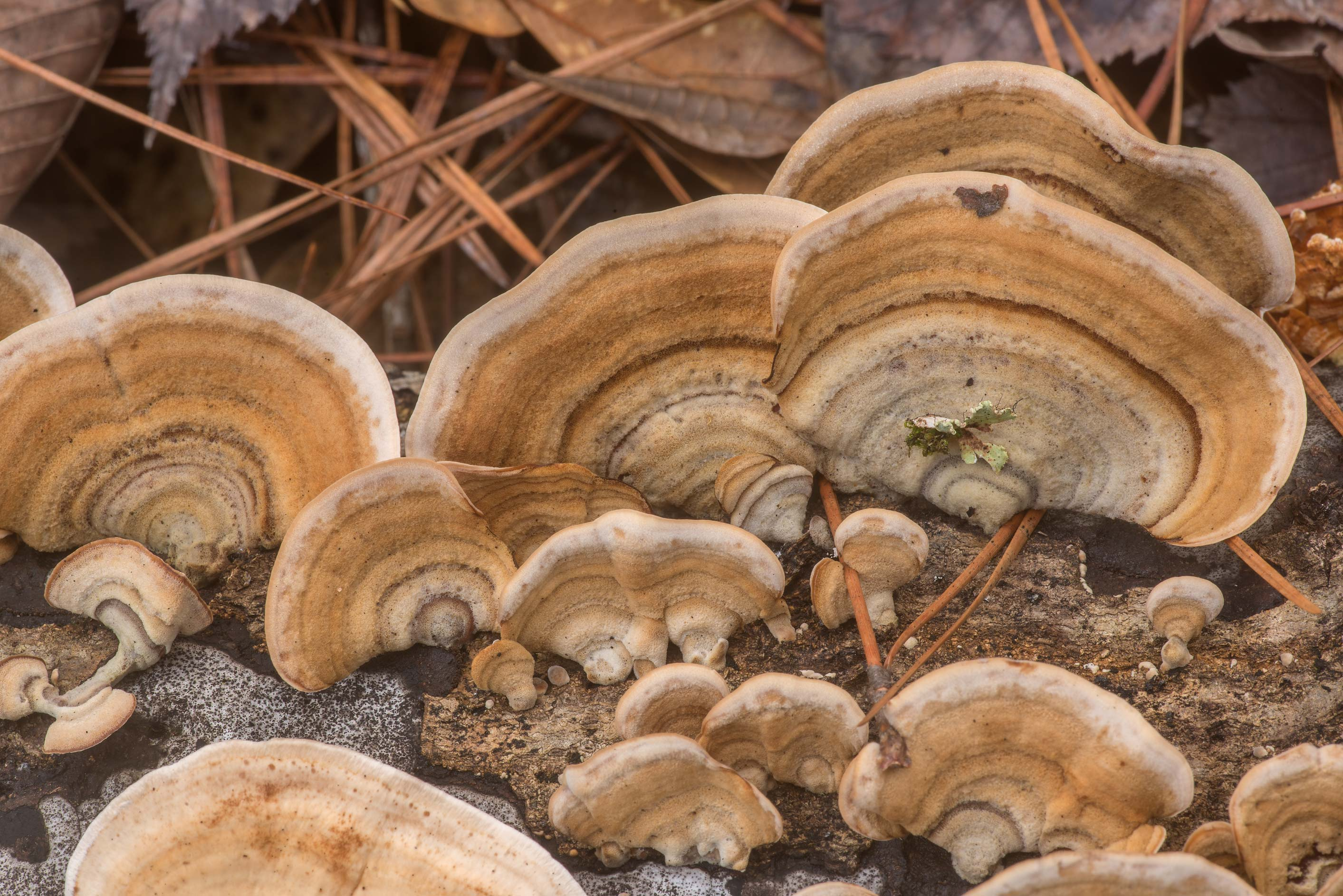 False Turkey Tail mushrooms (Stereum ostrea) on...Forest north from Montgomery. Texas