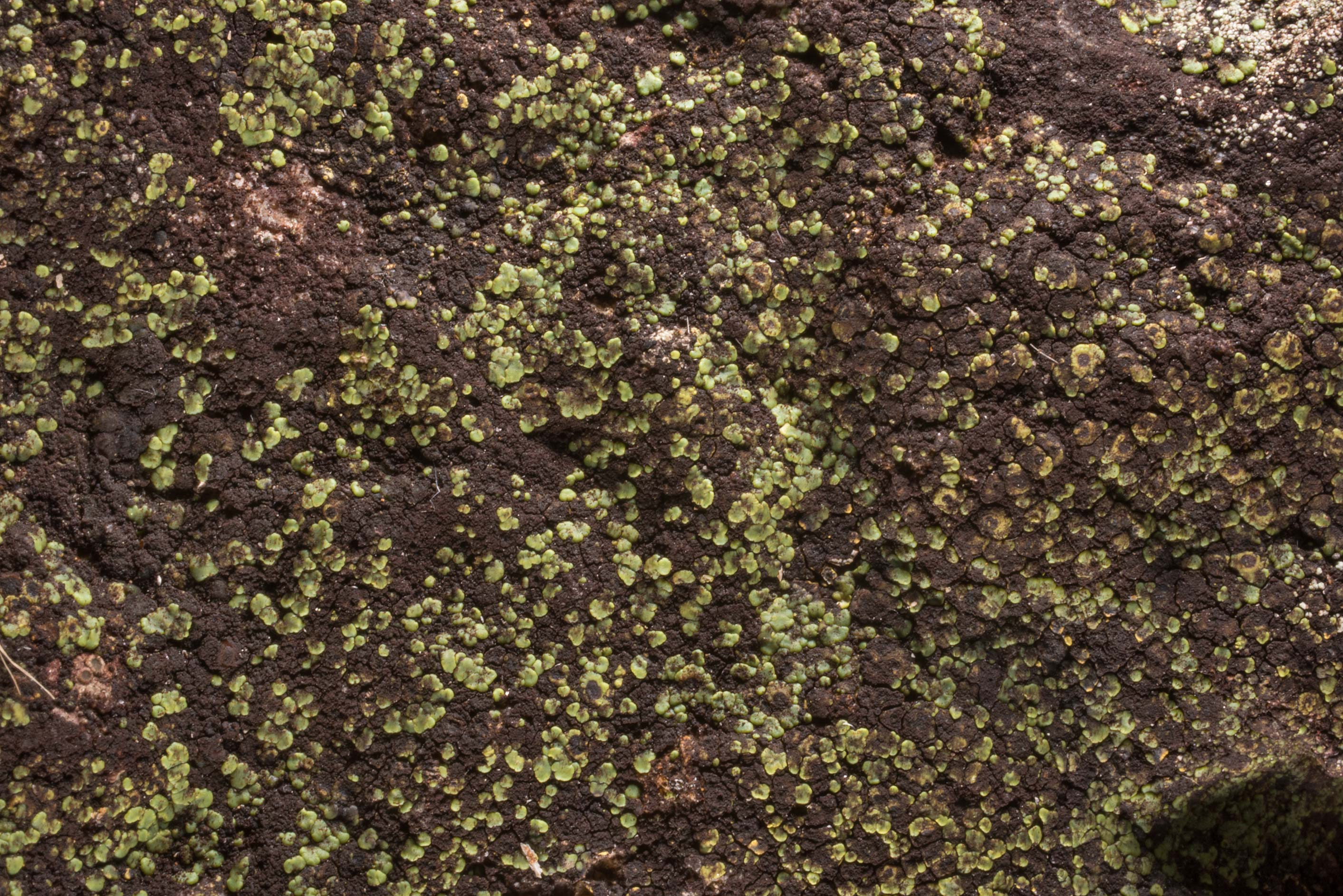 Rock-olive lichen (Peltula) in a forest in area...of Somerville Lake State Park. Texas
