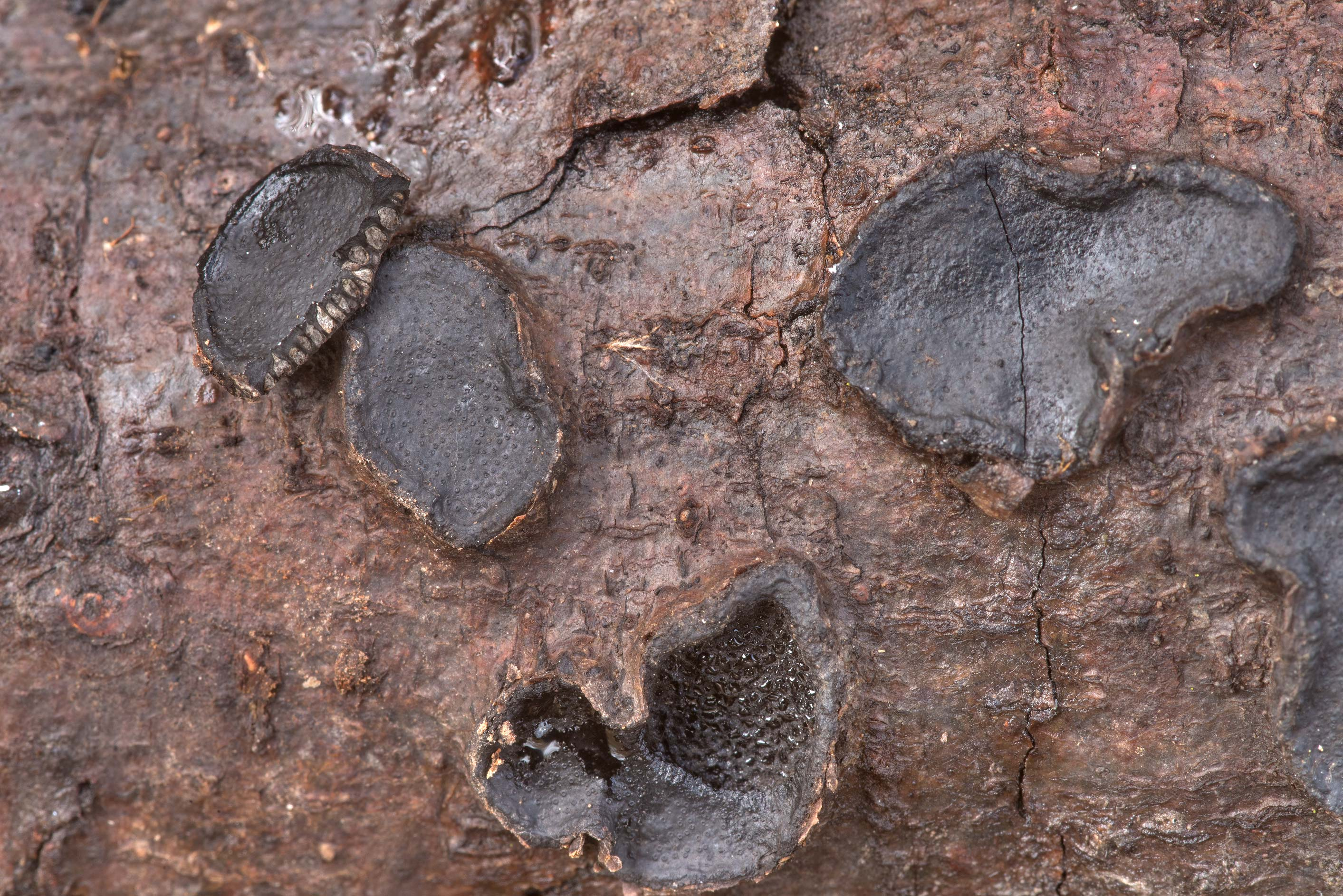 Close-up of black crust fungus Biscogniauxia...Creek Park. College Station, Texas