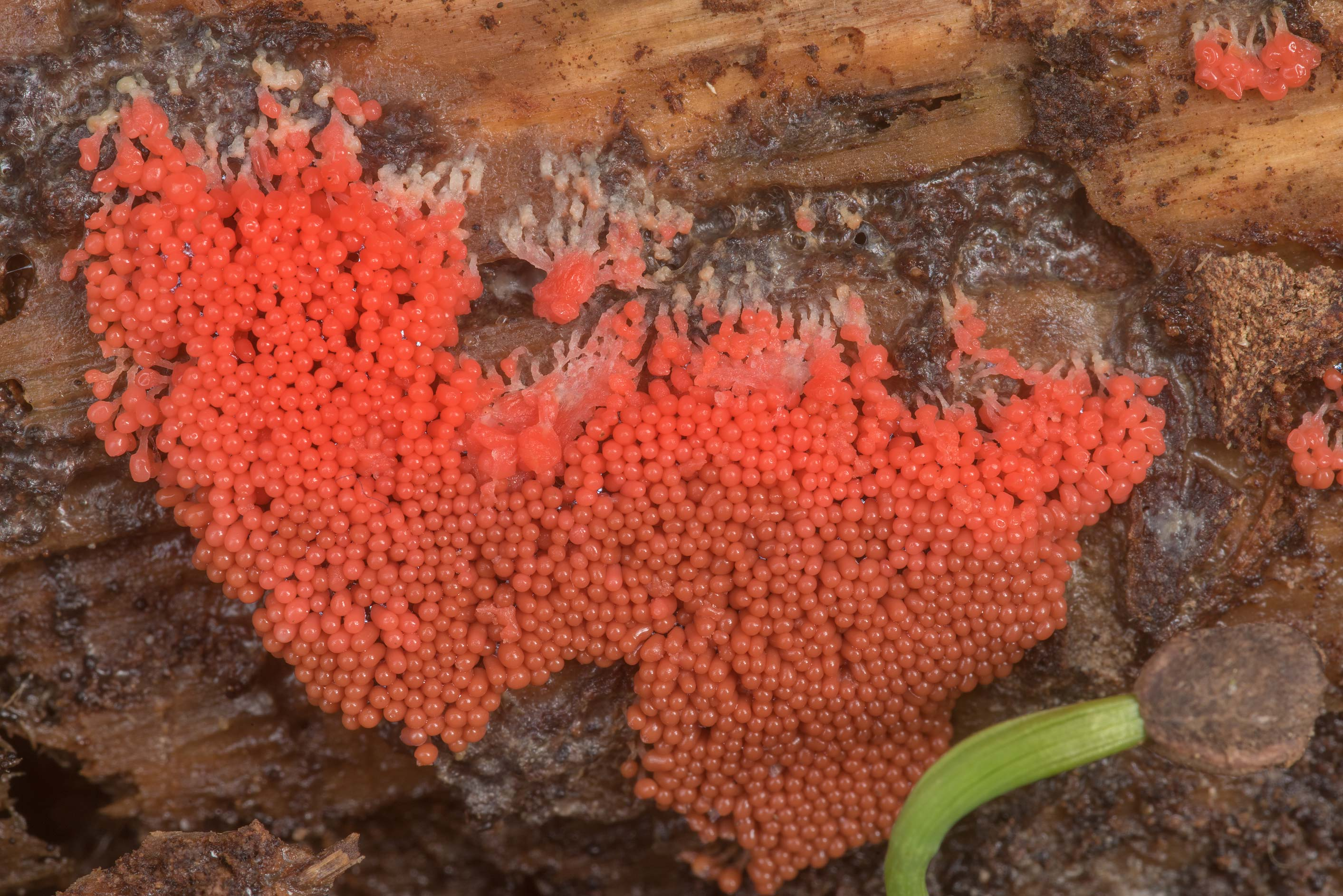 Close-up of bright red slime mold Arcyria...National Forest near Huntsville. Texas