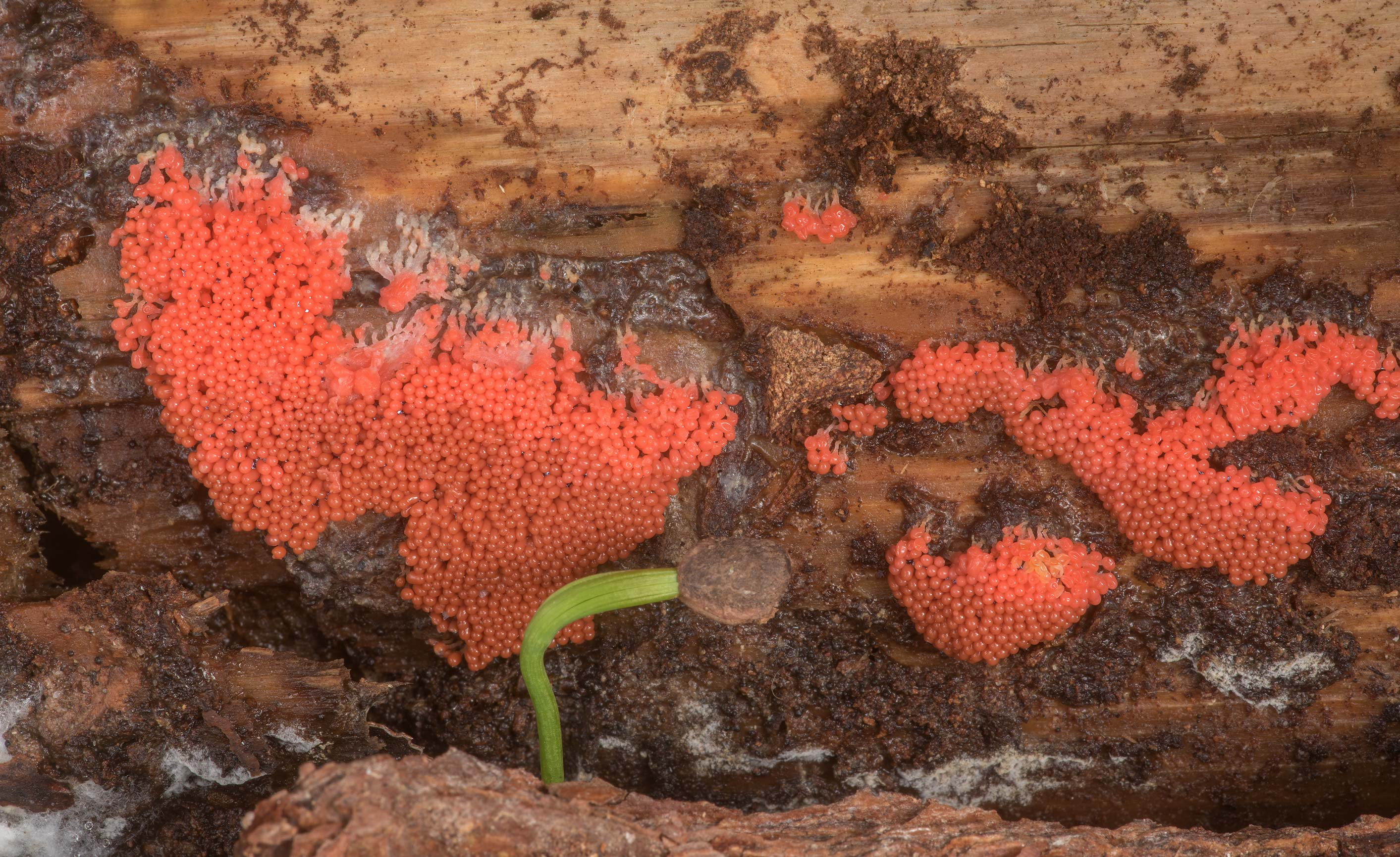 Bright red slime mold Arcyria ferruginea on a...National Forest near Huntsville. Texas