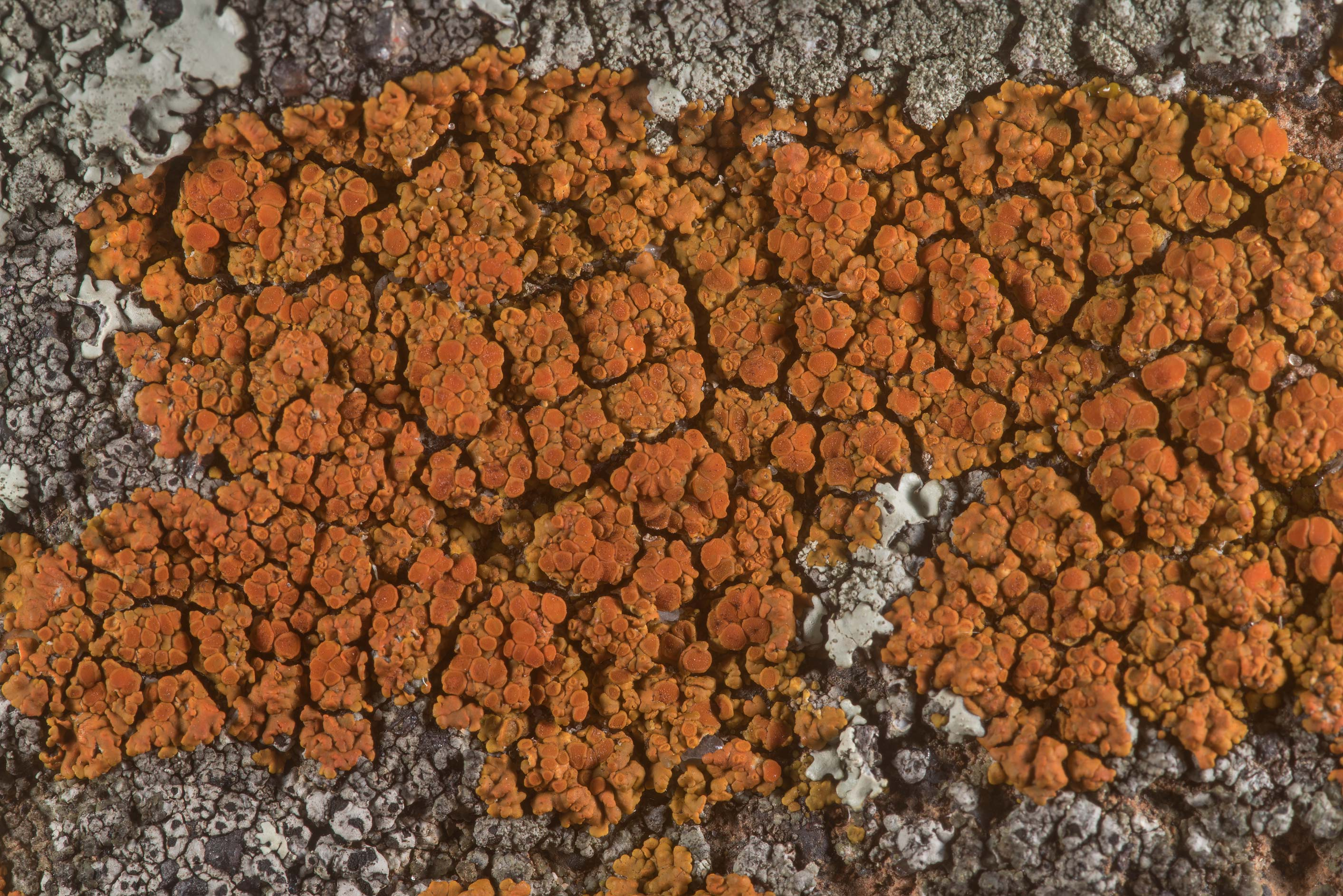 Firedot lichen Caloplaca squamosa on sandstone of...in Bastrop State Park. Bastrop, Texas