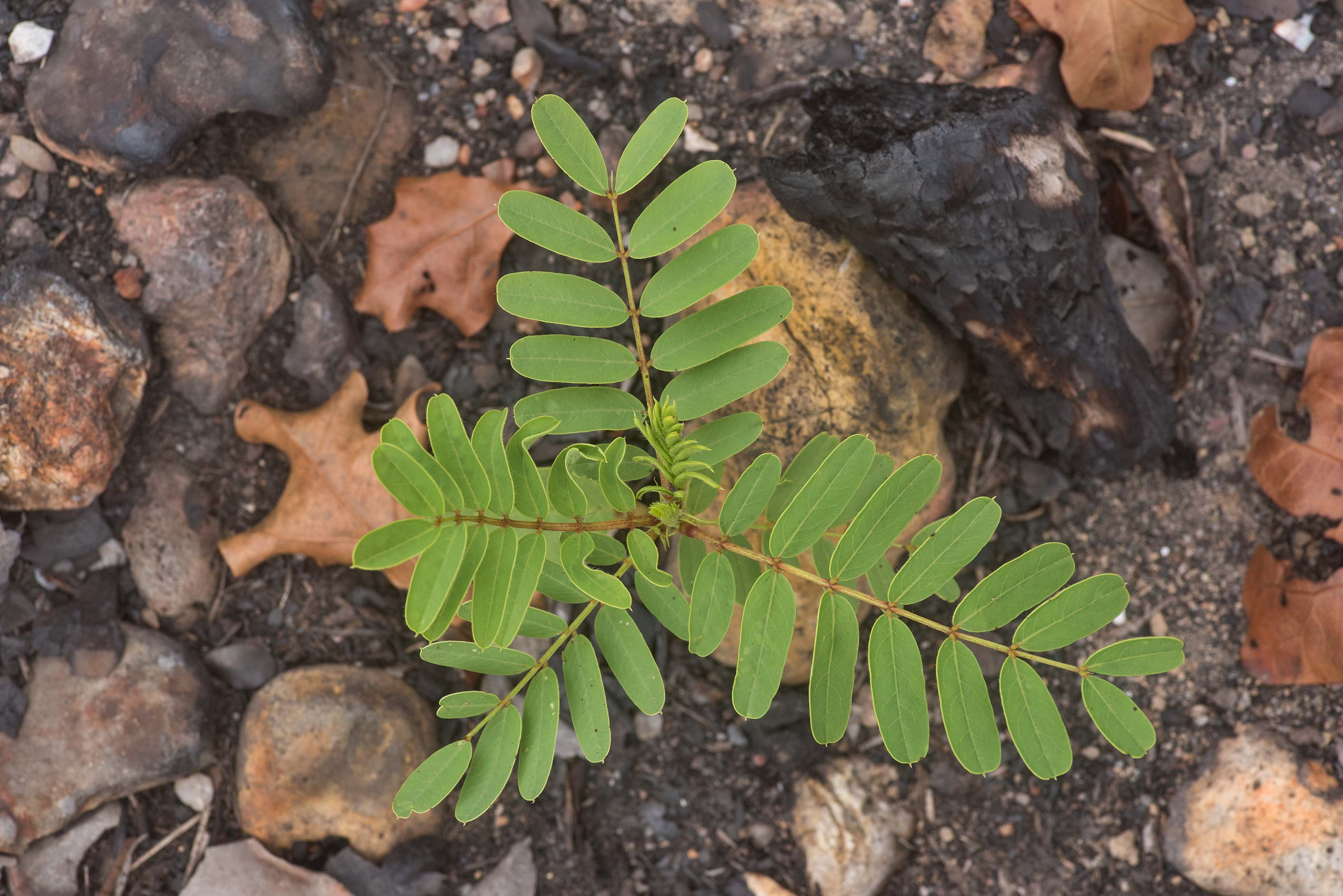 Seedling of partridge pea (Cassia fasciculata) on...in Bastrop State Park. Bastrop, Texas