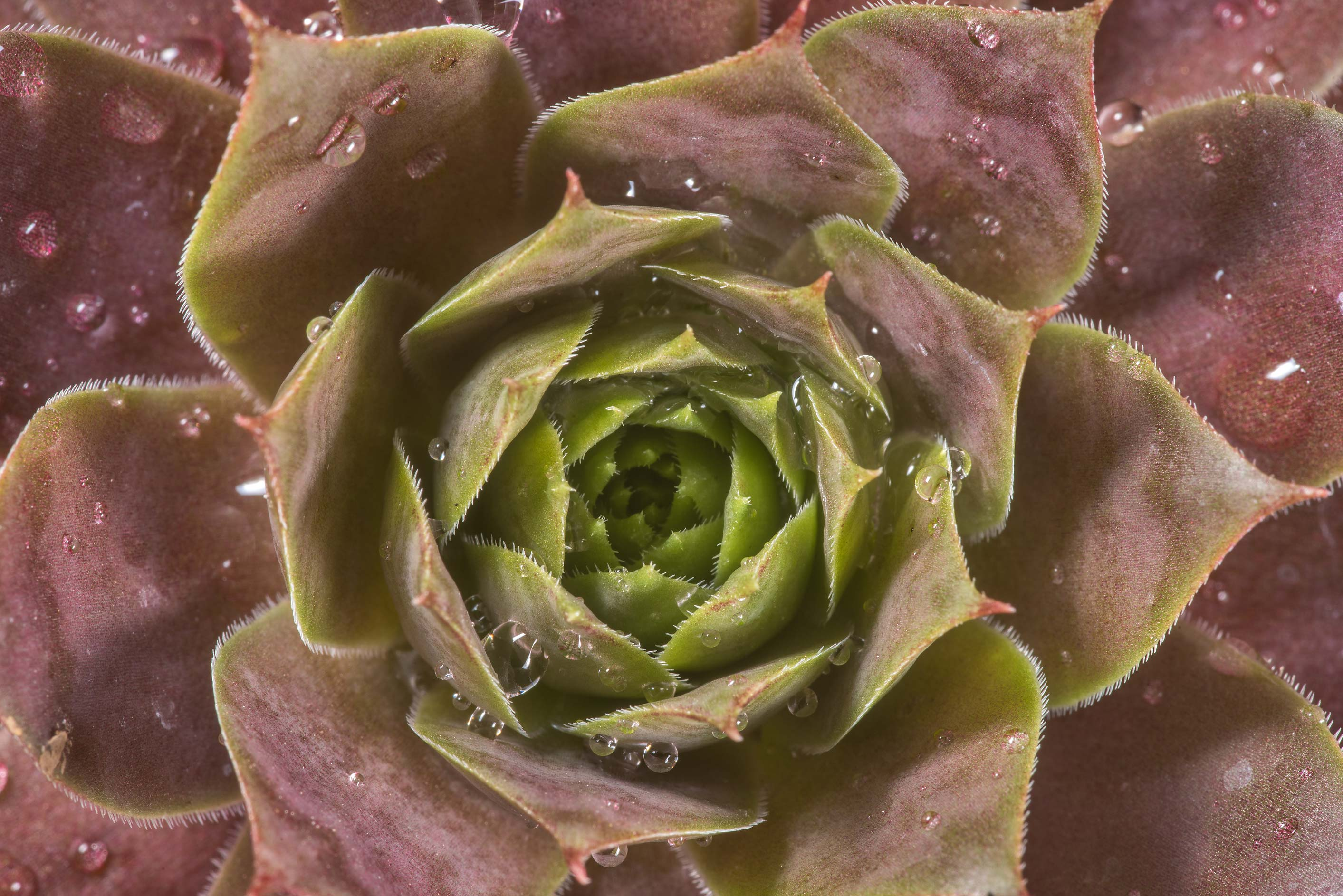 Purple rosette of Sempervivum hens and chicks...Rose Emporium. Independence, Texas