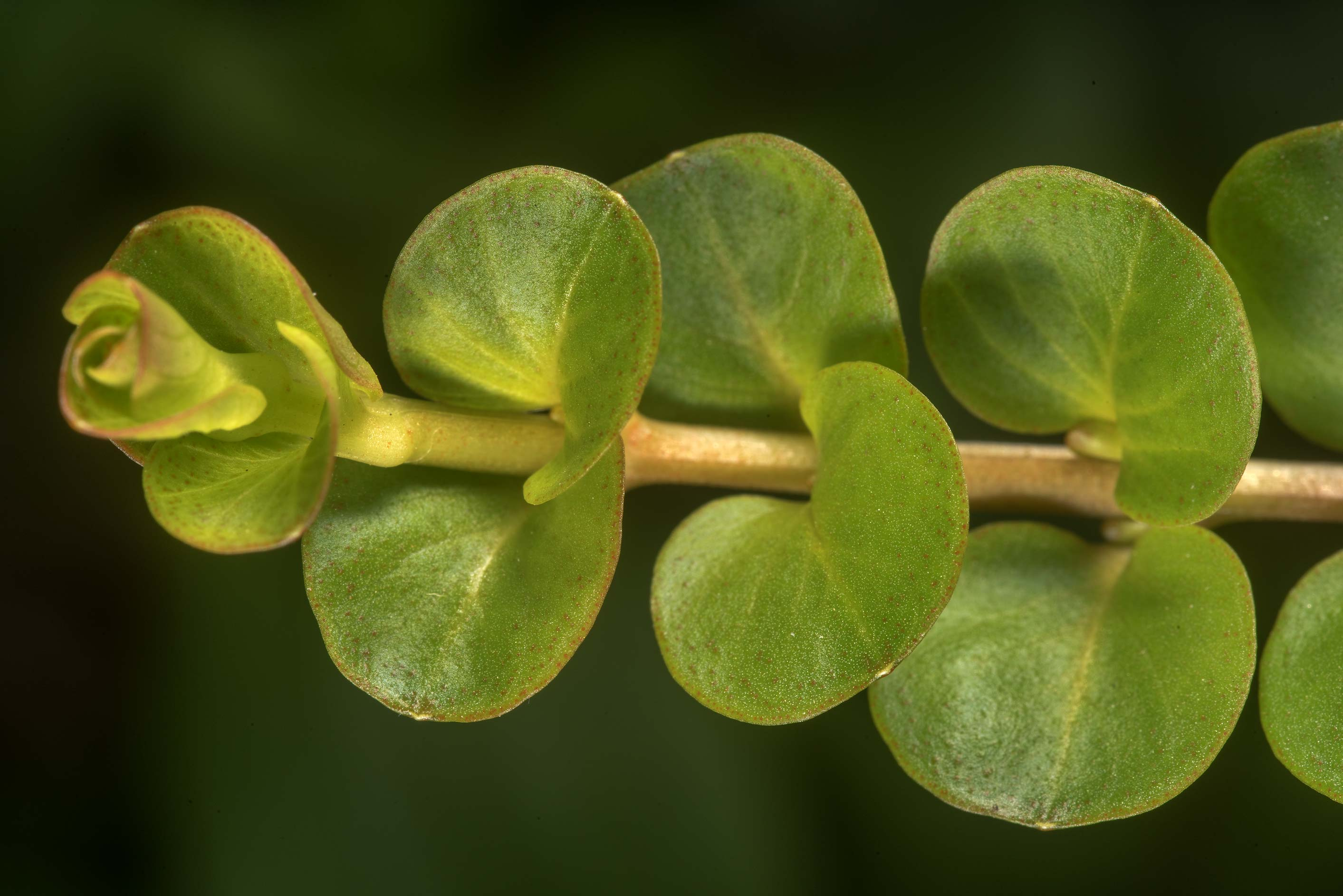 Shoot of Bacopa in Antique Rose Emporium. Independence, Texas
