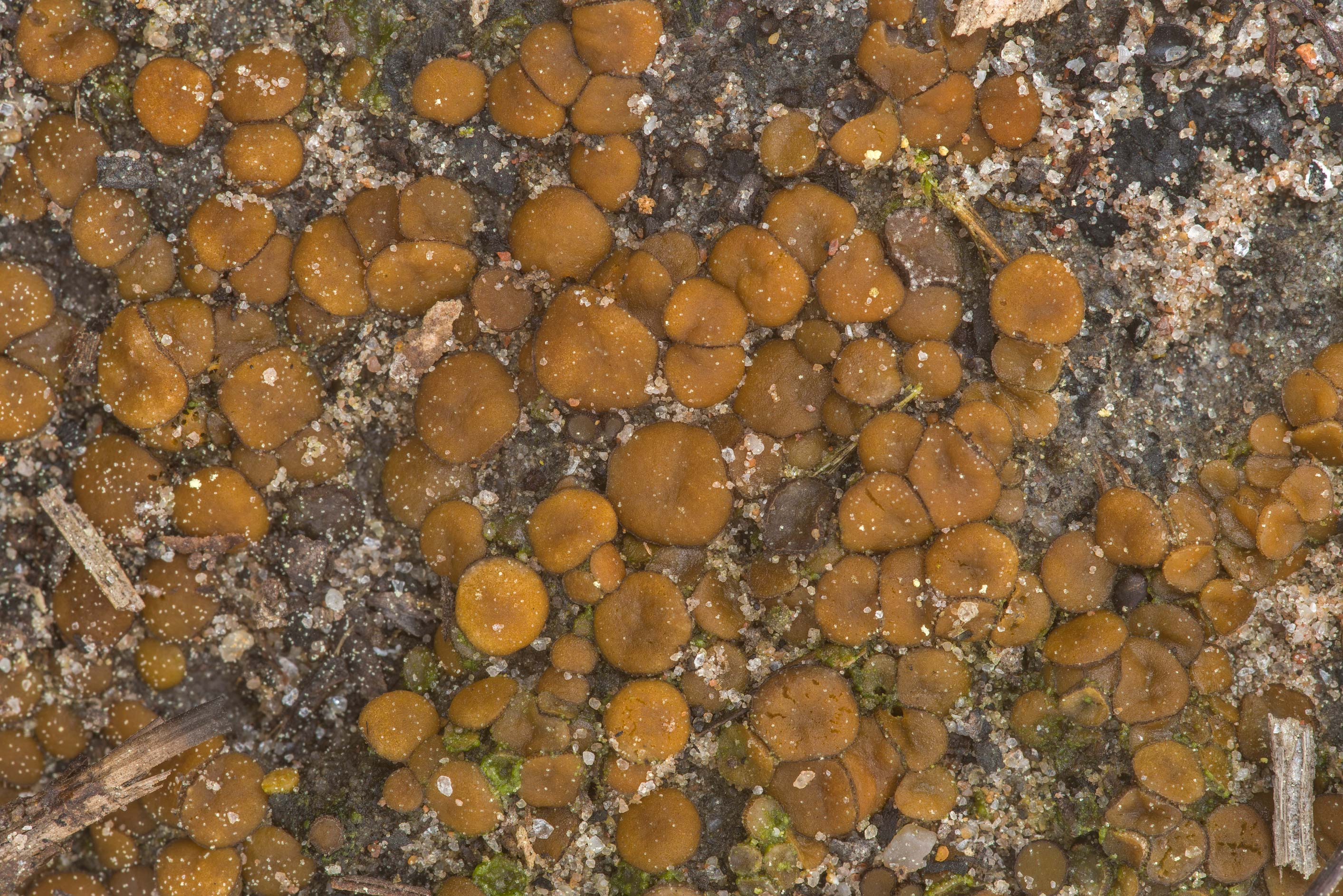 Masses of small cup fungus Anthracobia maurilabra...Forest north from Montgomery. Texas
