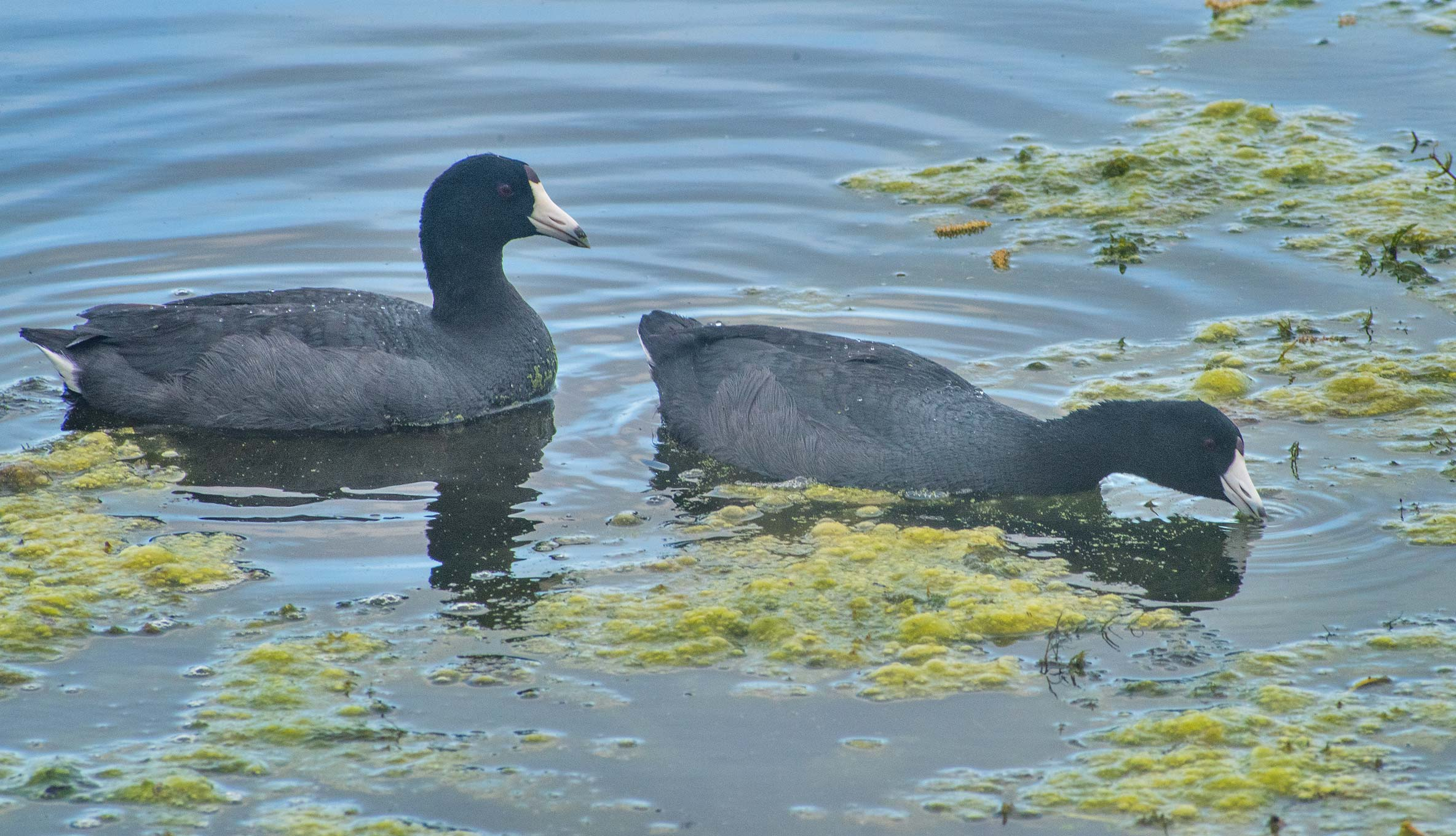 American coots on 40-Acre Lake in Brazos Bend State Park. Needville, Texas
